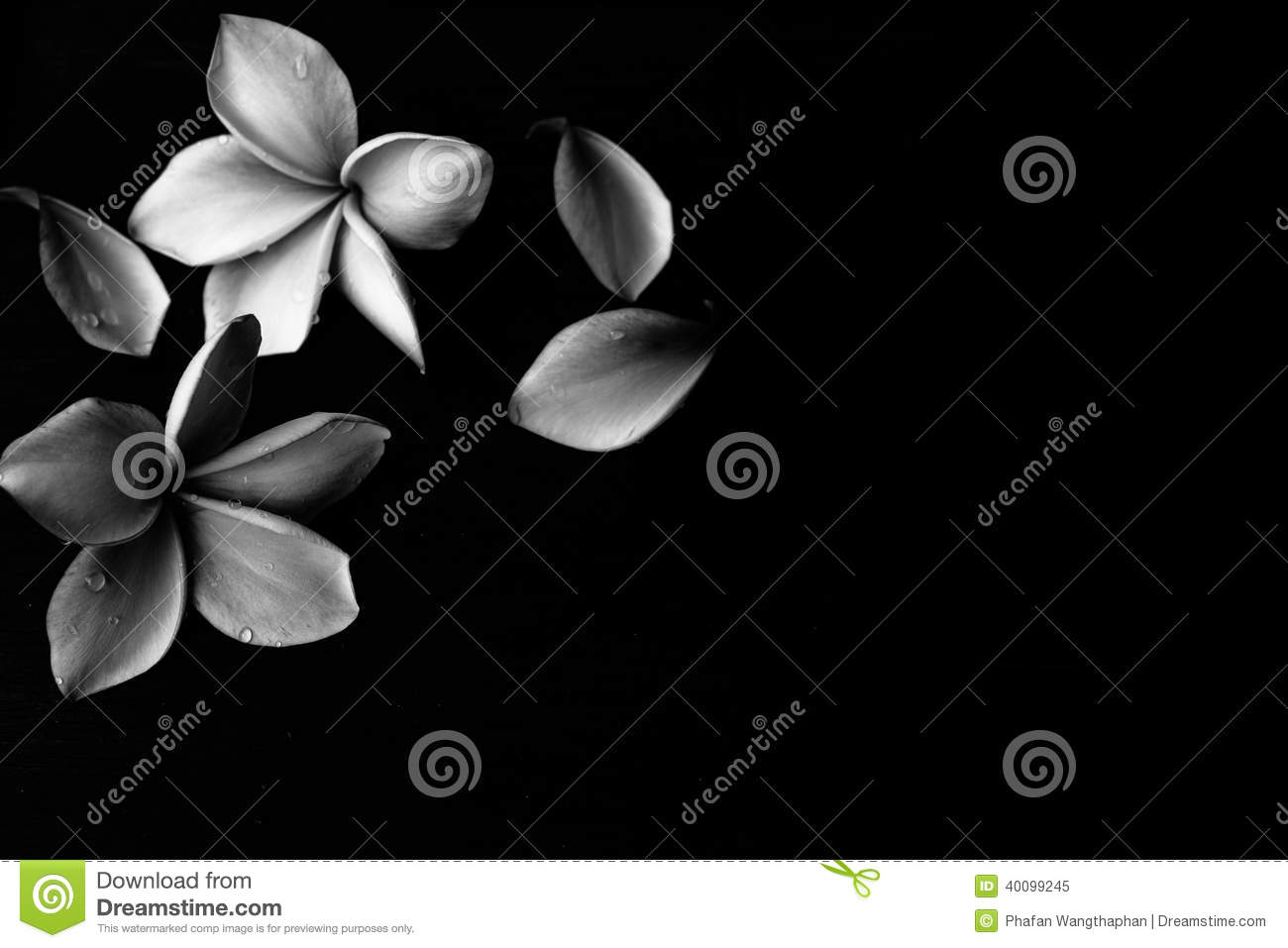 black and white plumeria background stock photo image
