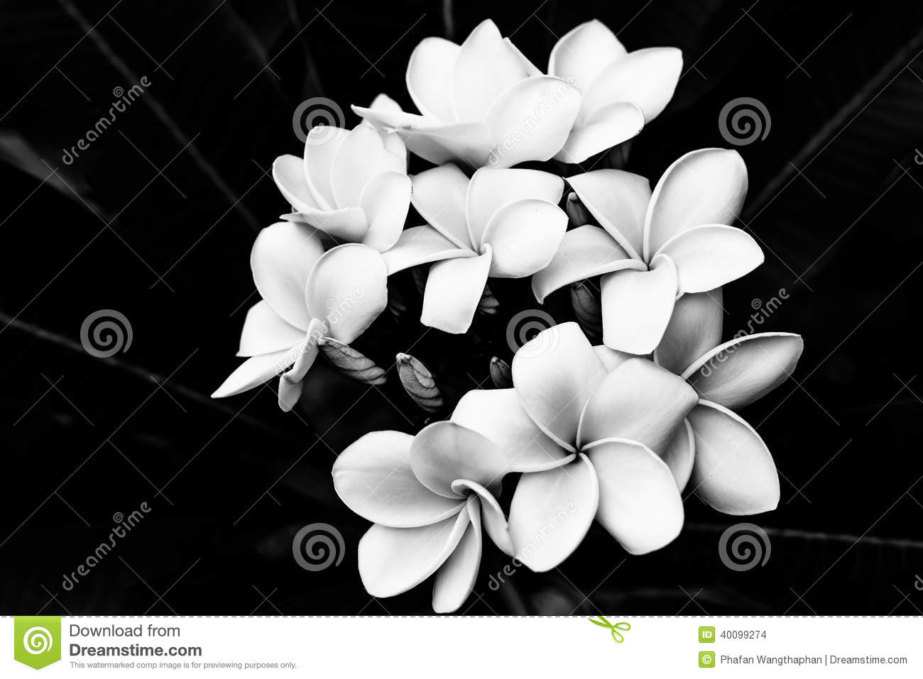 ... plumeria flower black and white tattoo plumeria clip art plumeria