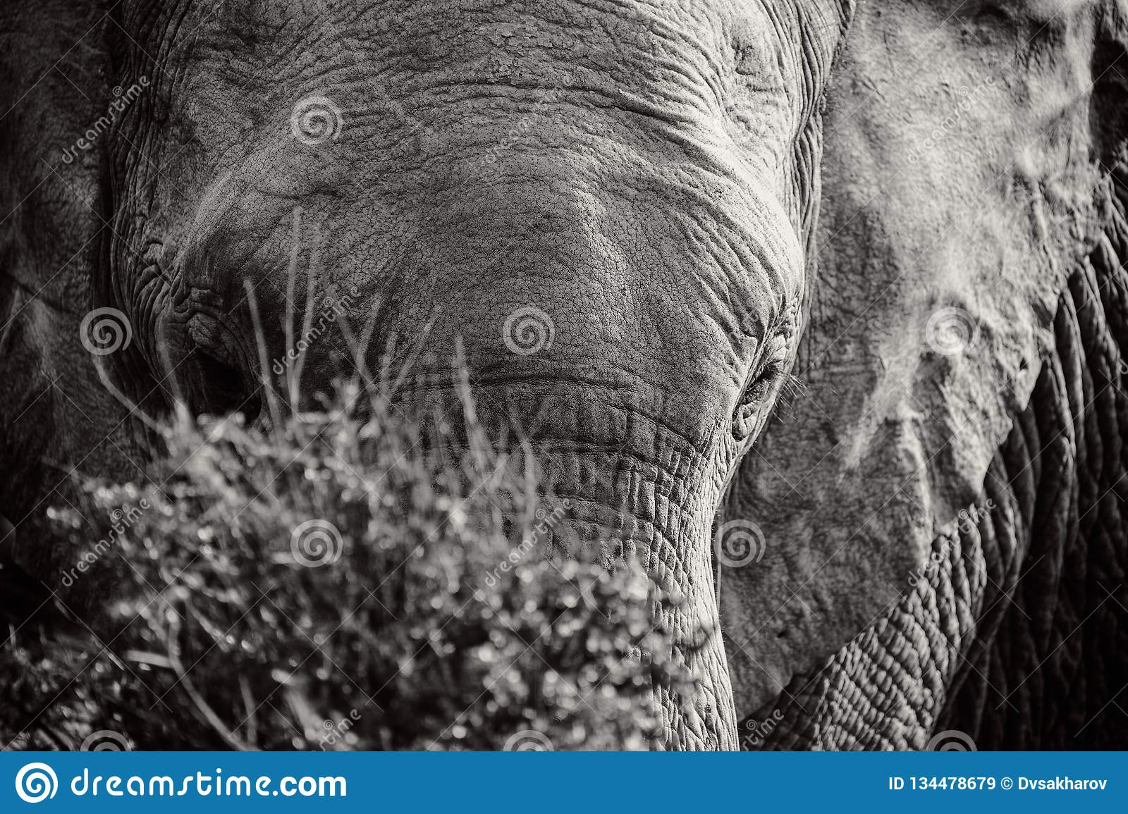 Black and white portrait of African elephant behind the bush in National park