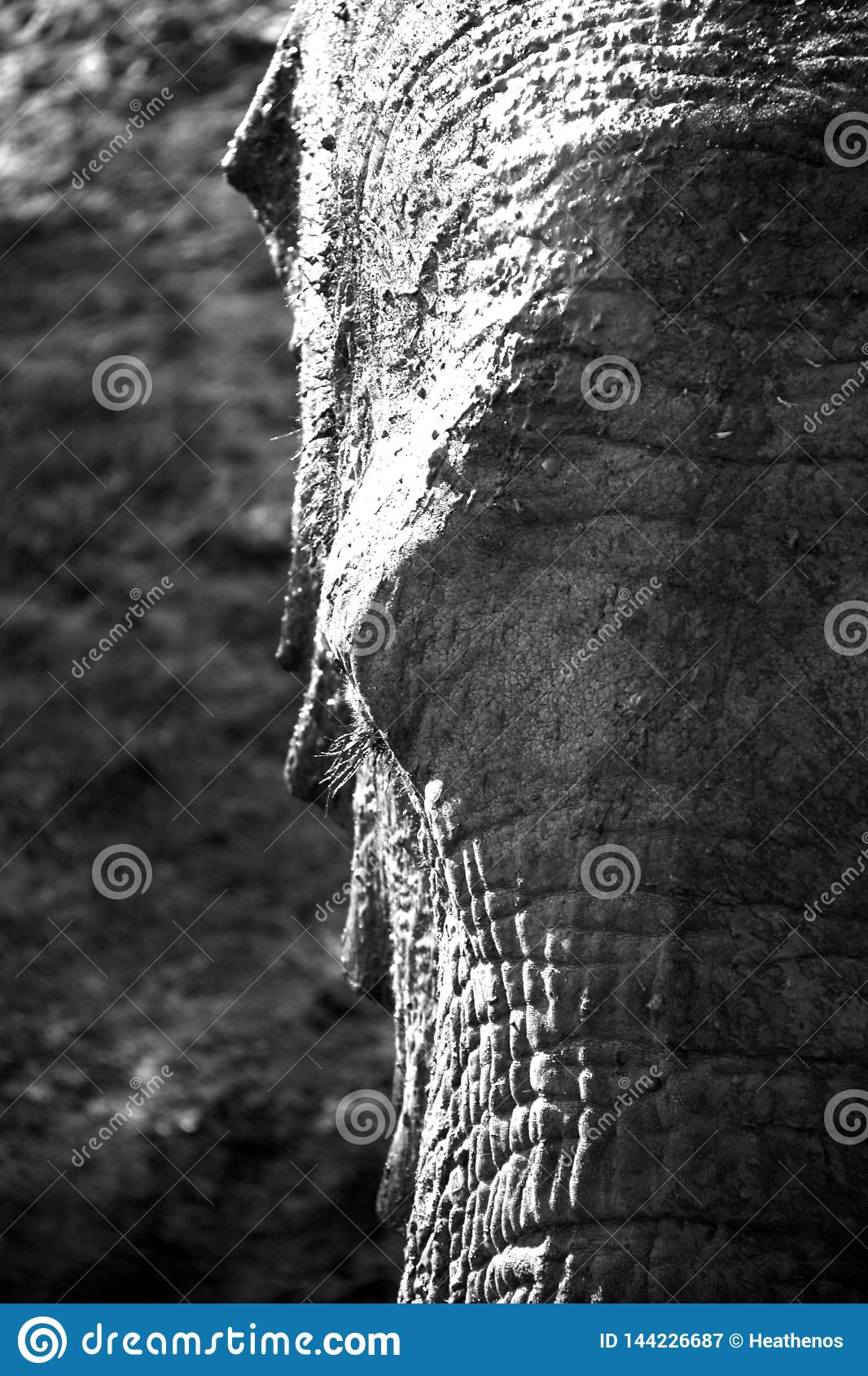 Black and white portrait of African elephant in high contrast
