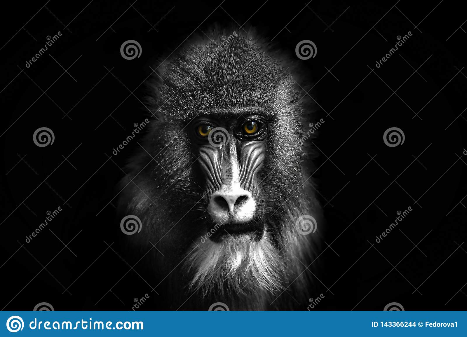 Black and white portrait of a baboon monkey with colored eyes