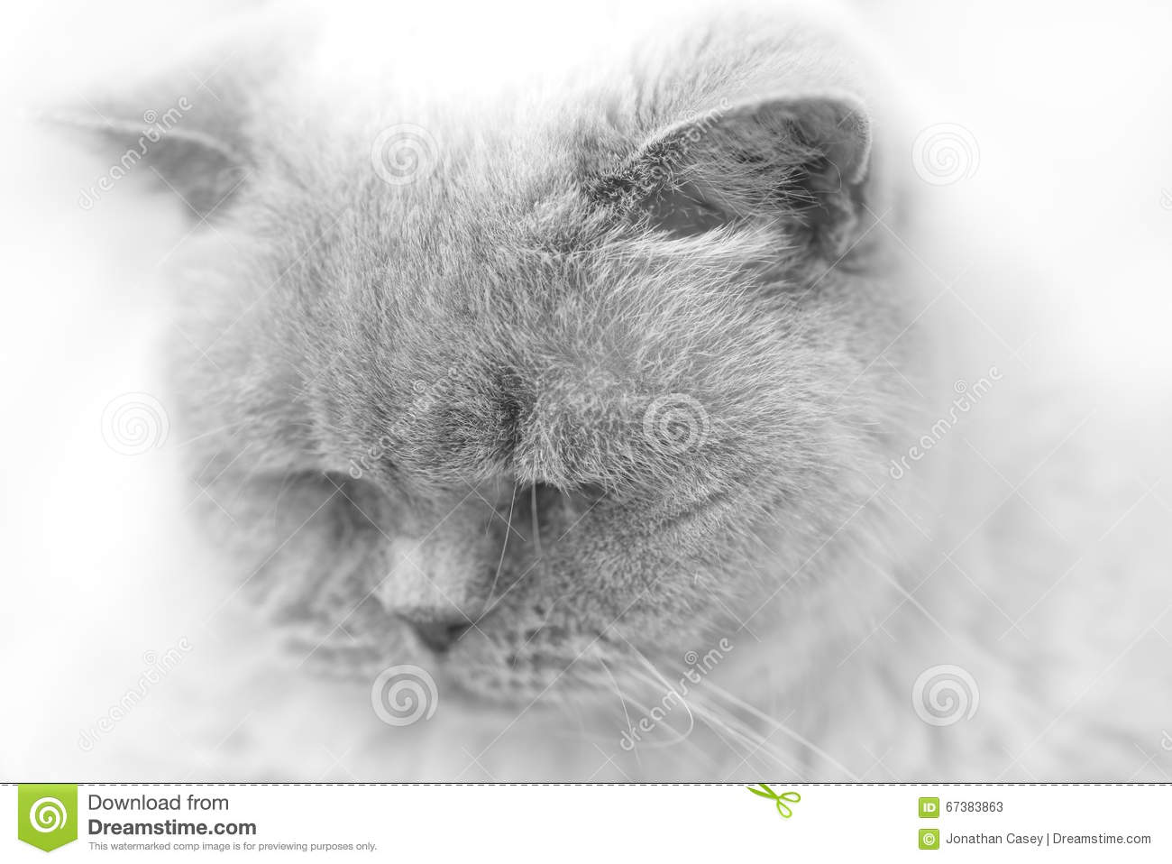 Black And White Portrait Of British Short Hair Cat