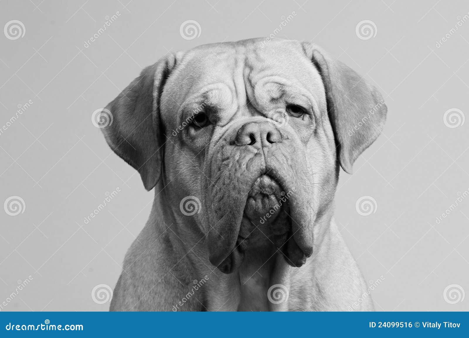 Black-and-white portrait of French Mastiff