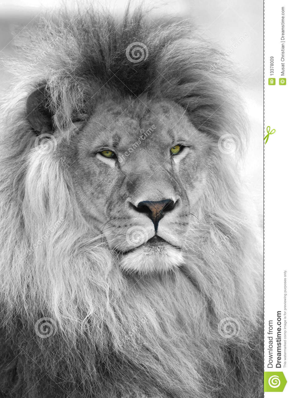 Black and white portrait of lion