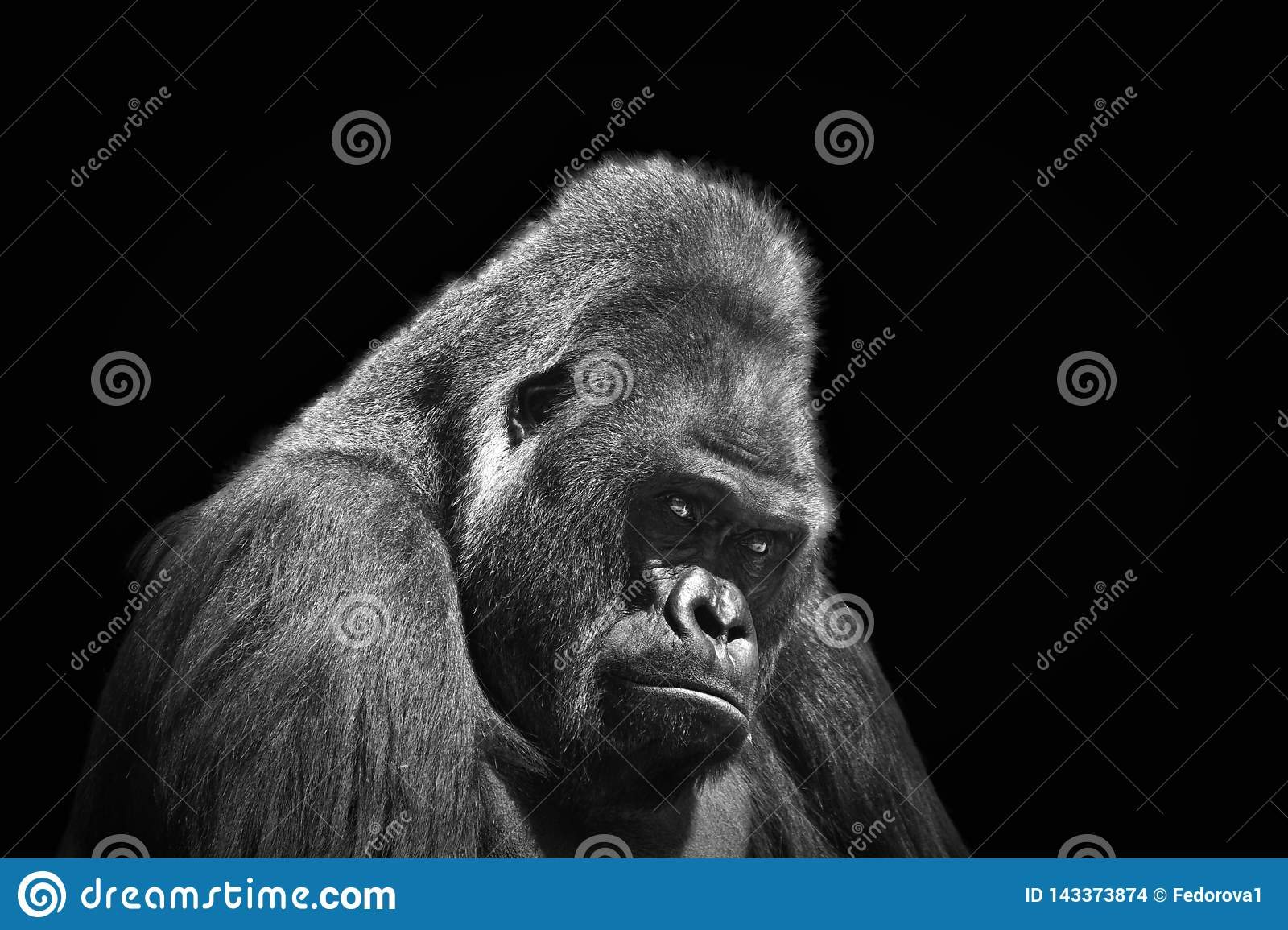 Black and white portrait in profile of an adult male gorilla