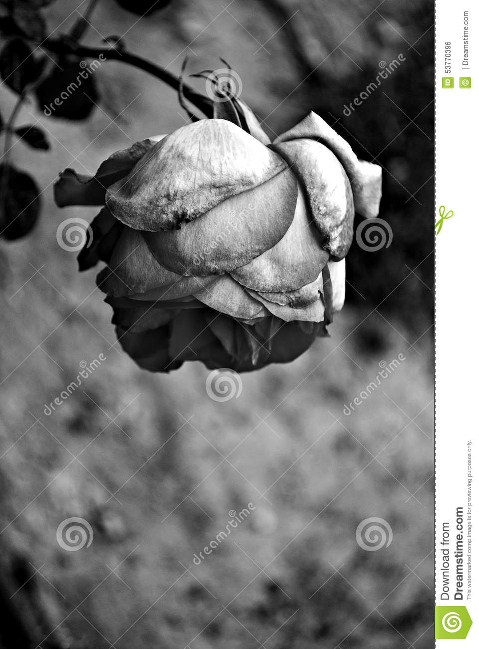 Black And White Rose Stock Photo Image Of Garden Natural 53770396