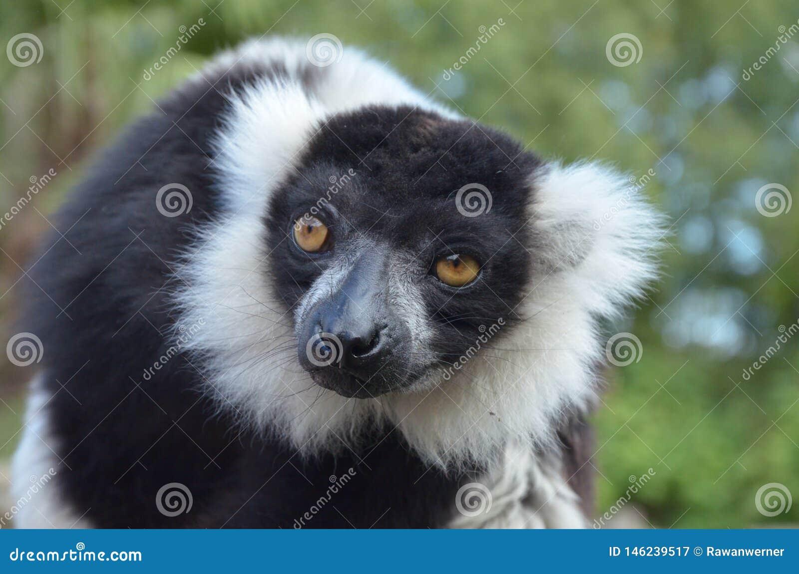 Black and white ruffed lemur vari