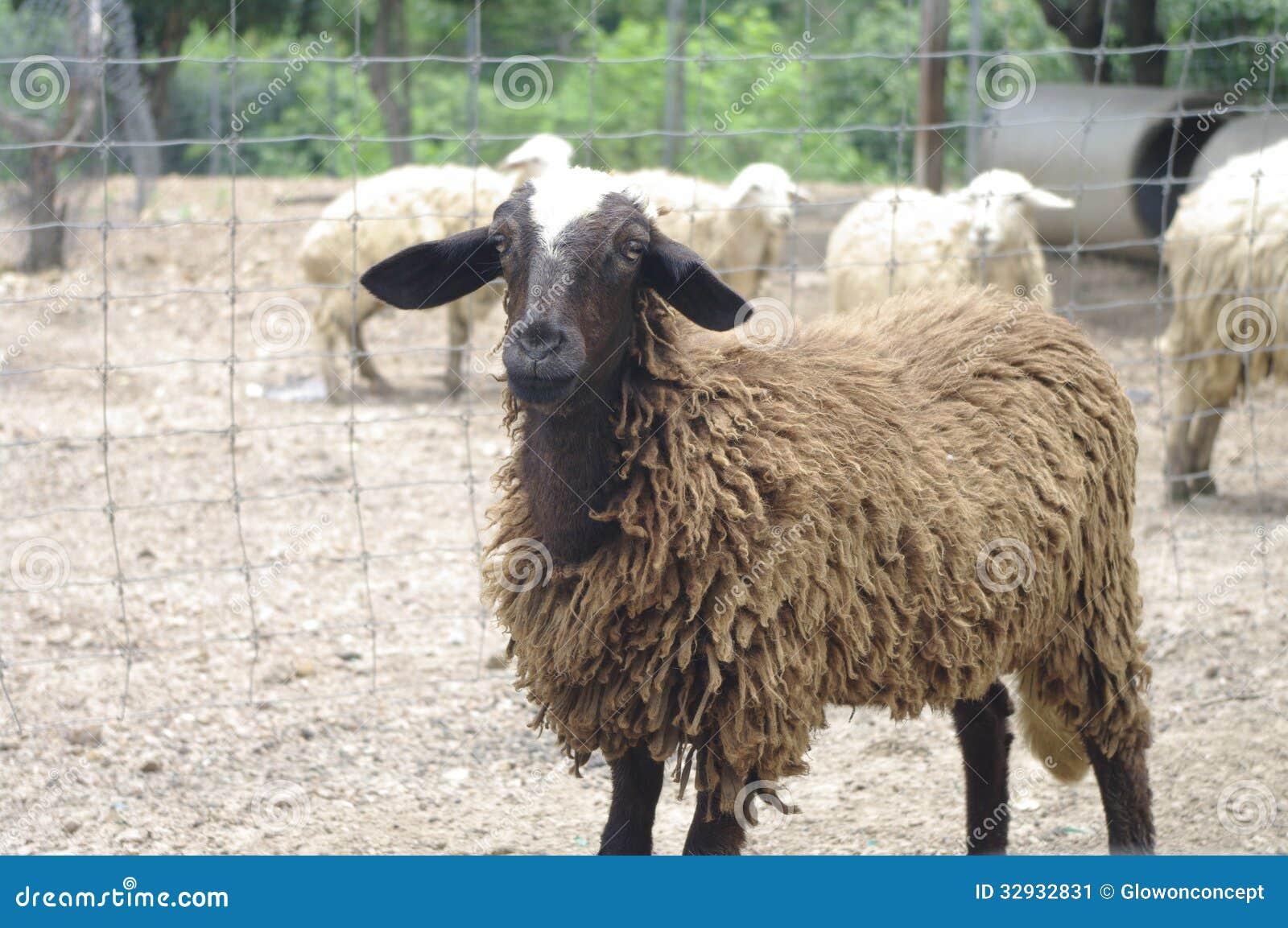 Black And White Sheep Stock Image Image 32932831