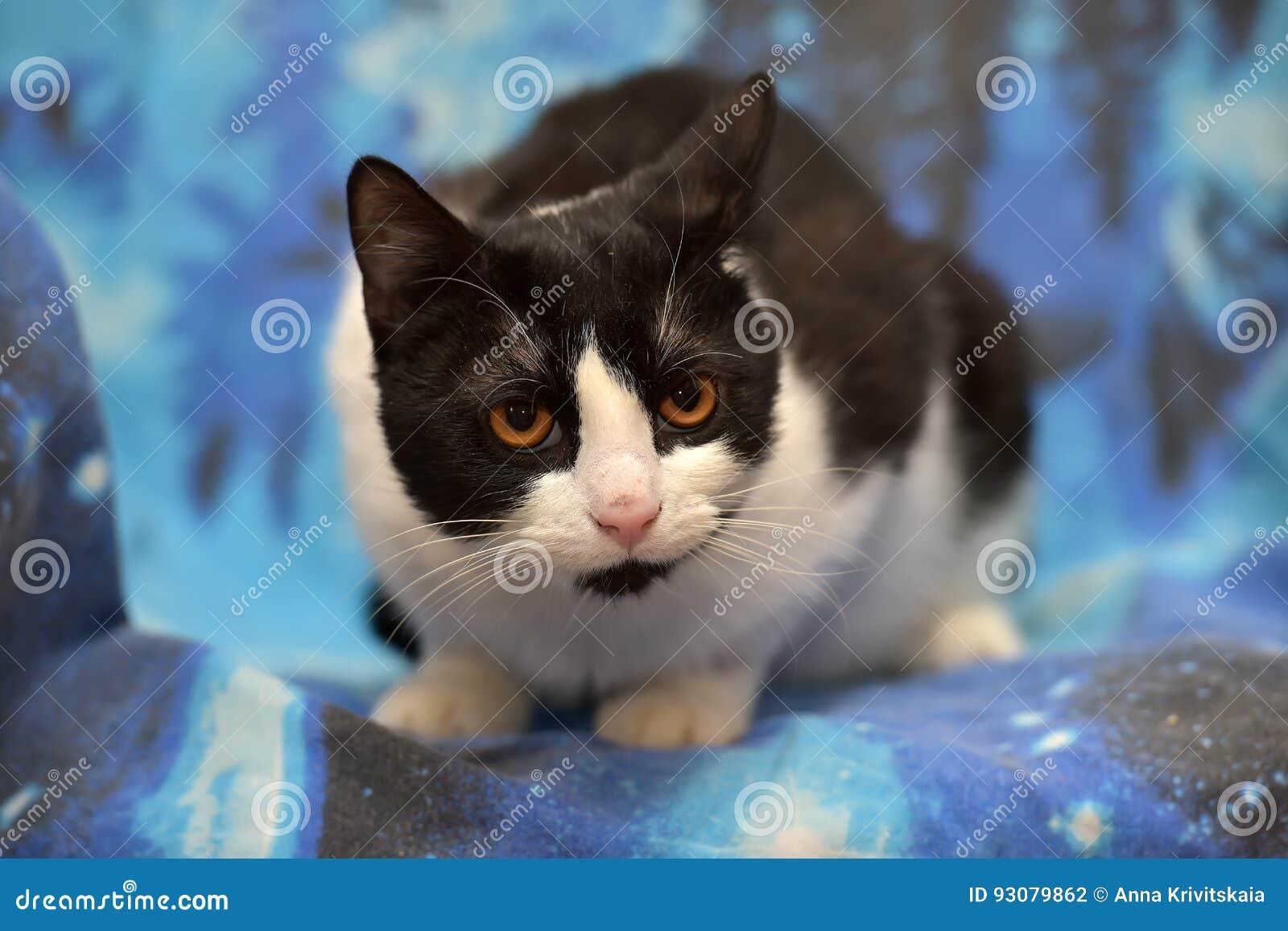 Black With White Short-haired Cat With Orange Eyes Stock Photo ...