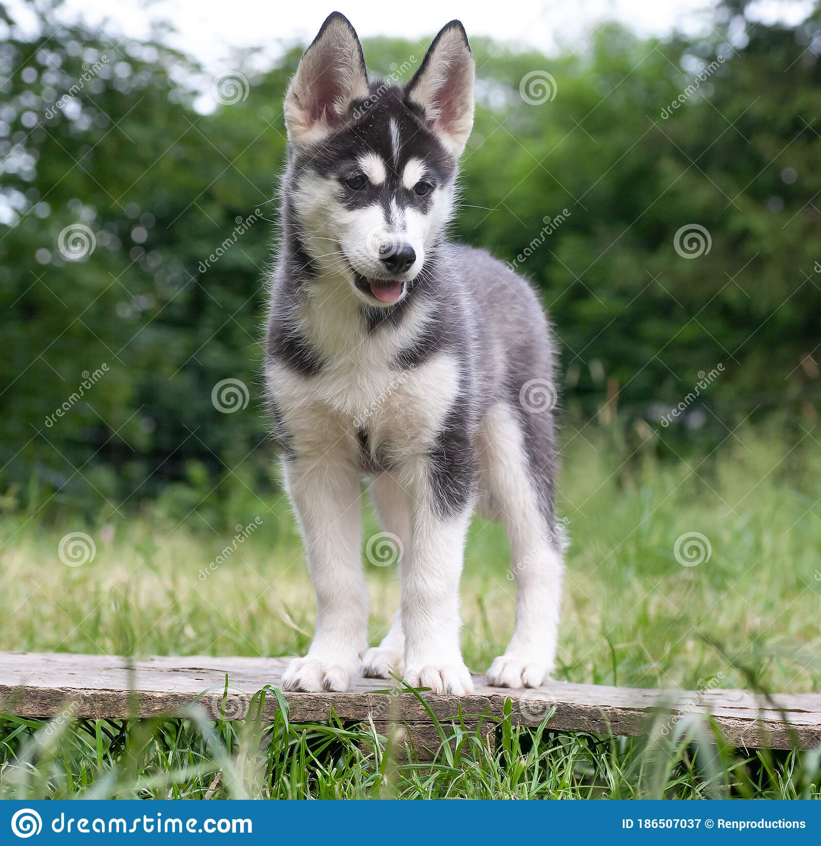 Black And White Siberian Husky Puppy Stock Image Image Of Husky Arctic 186507037