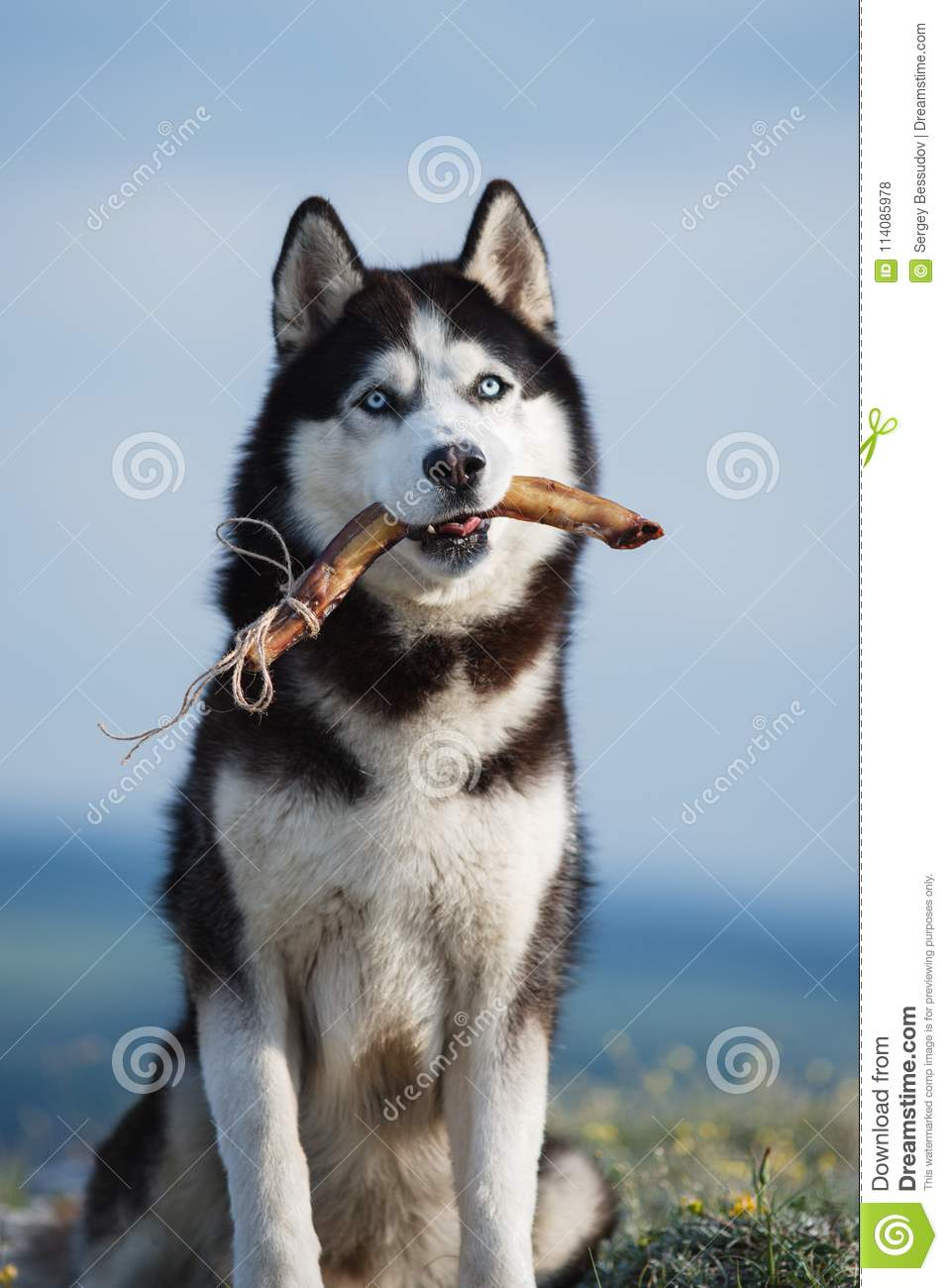 Black And White Siberian Husky Sitting On A Mountain On The Background Of The Lake And The Forest And Eats Treats The Dog On The Stock Photo Image Of Forest Enjoy