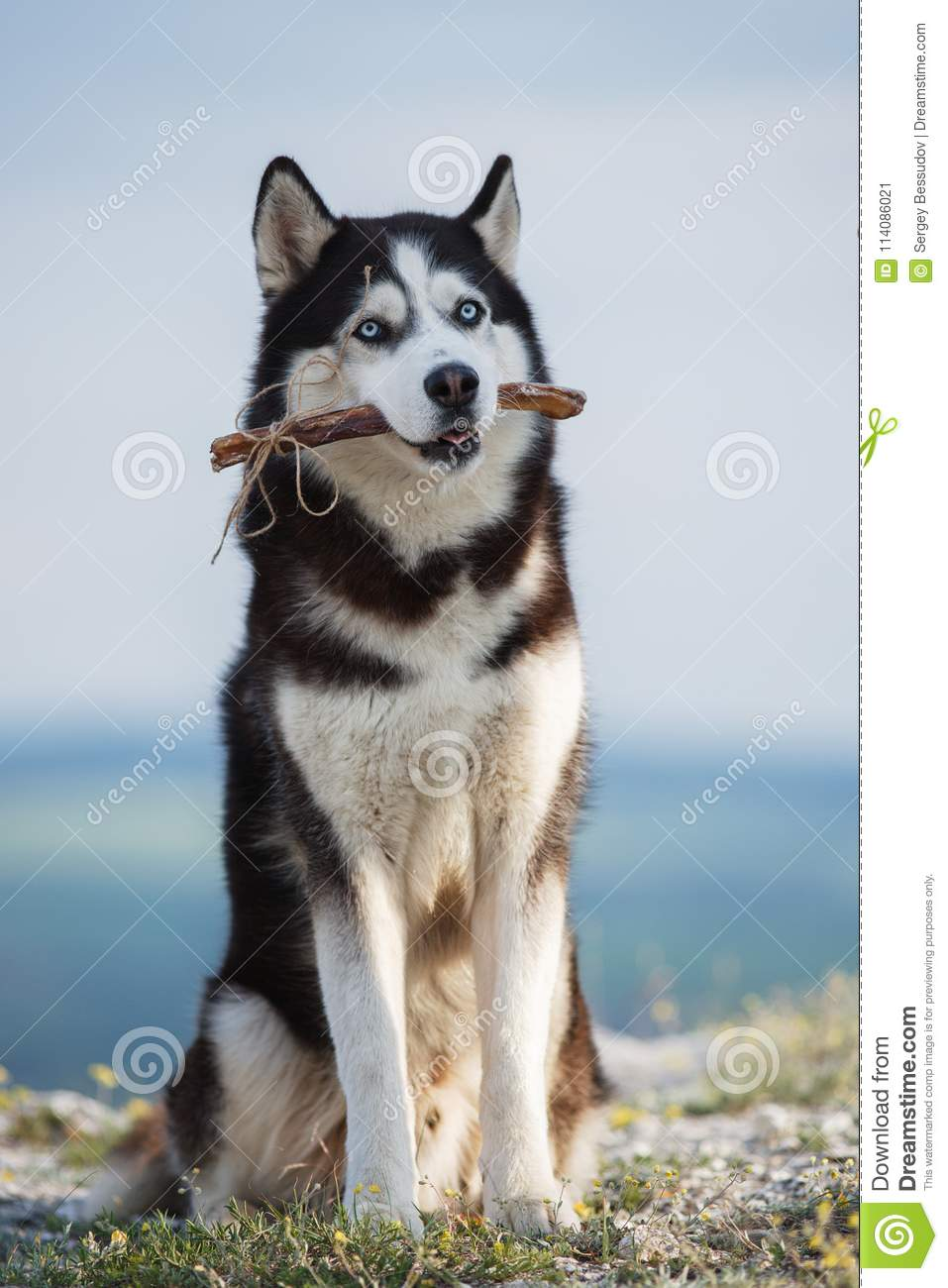 Black and white Siberian husky sitting on a mountain on the background of the lake and the forest and eats treats.