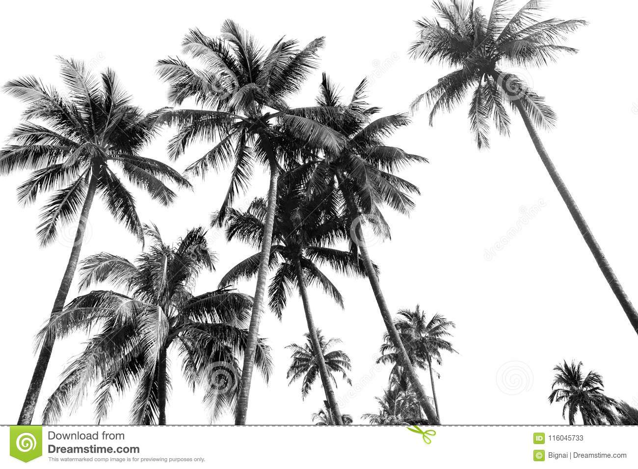 Black And White Silhouettes Tropical Coconut Palm Trees Stock Image