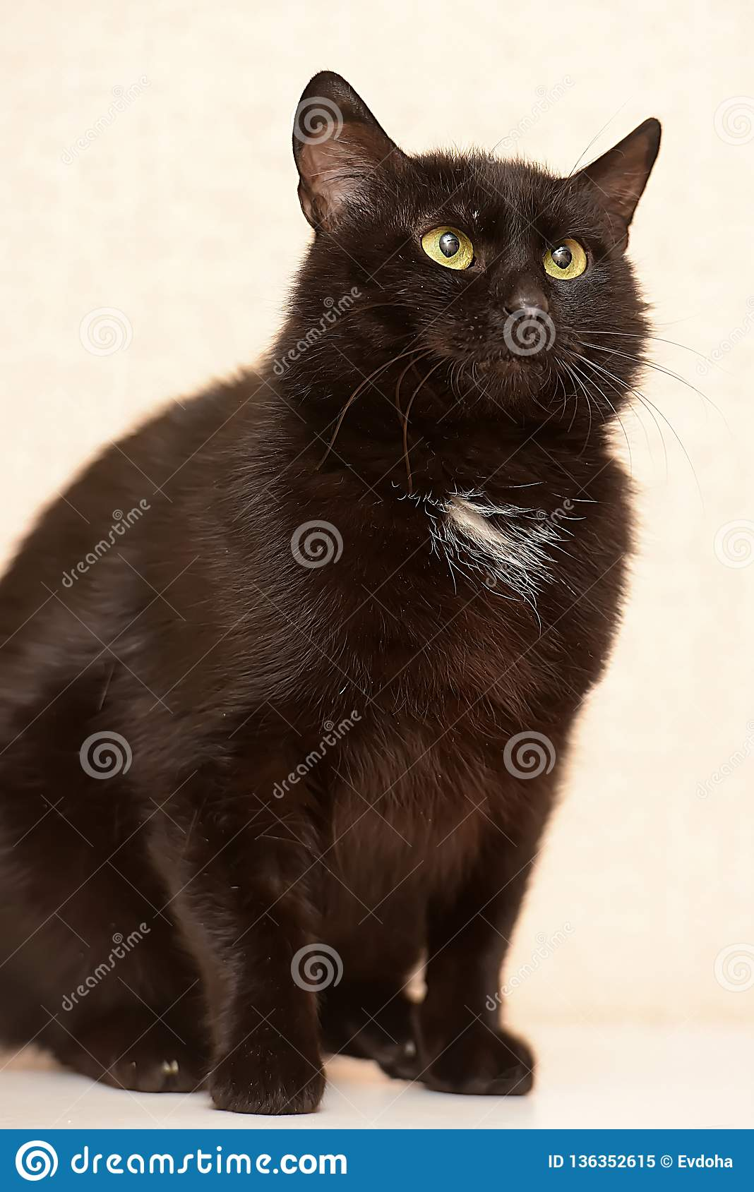 Black With A White Spot On The Chest Funny Cat Stock Image ...