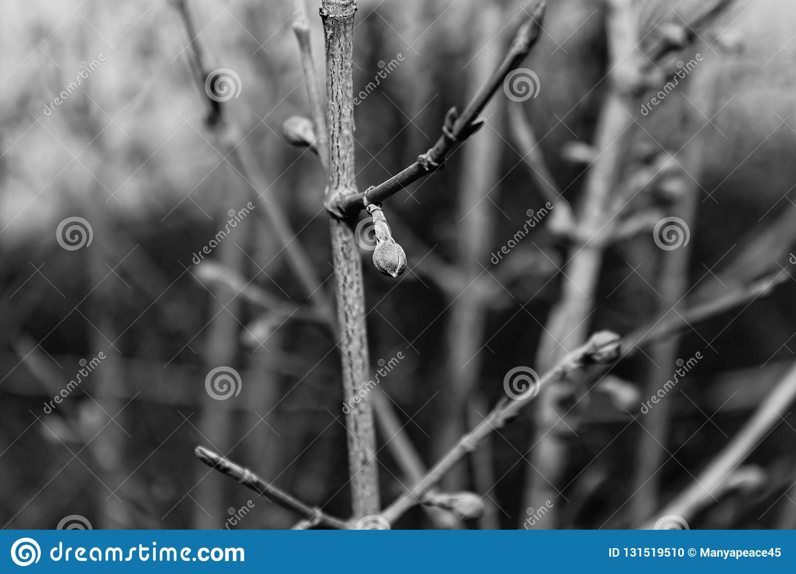 Black and white, Spring time. Buds swollen in the trees. Close-up. Nature