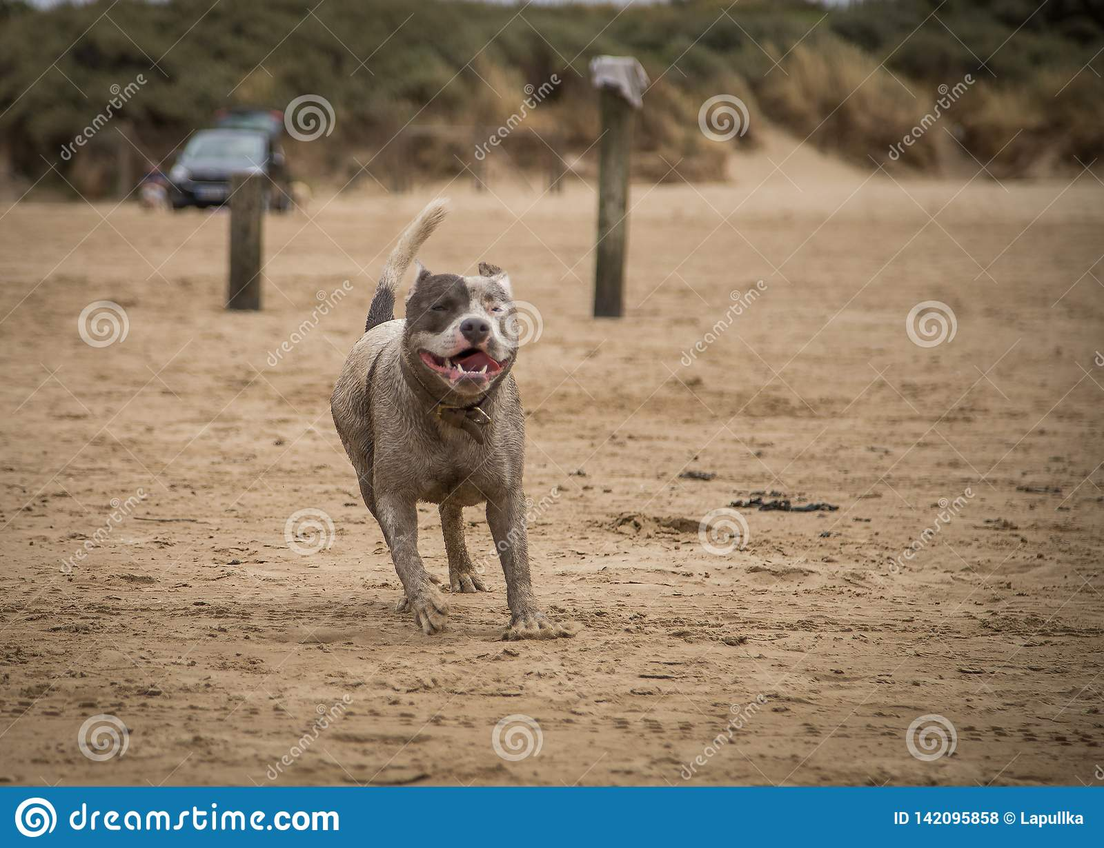 Staffordshire bull terrier dog running on the beach of Weston Super Mare