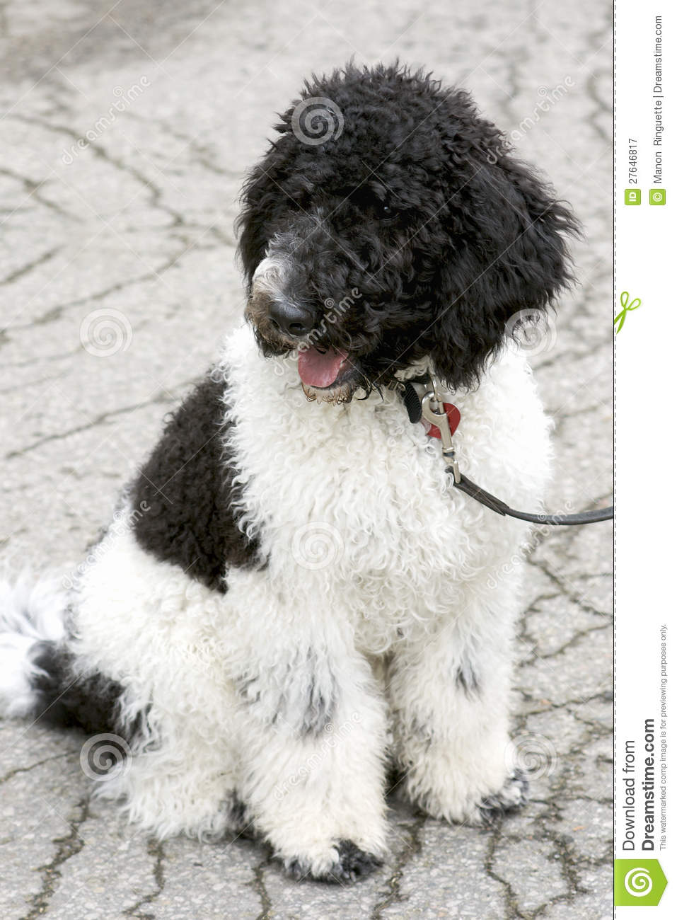 Black And White Standard Poodle Puppy Royalty Free Stock Photography ...