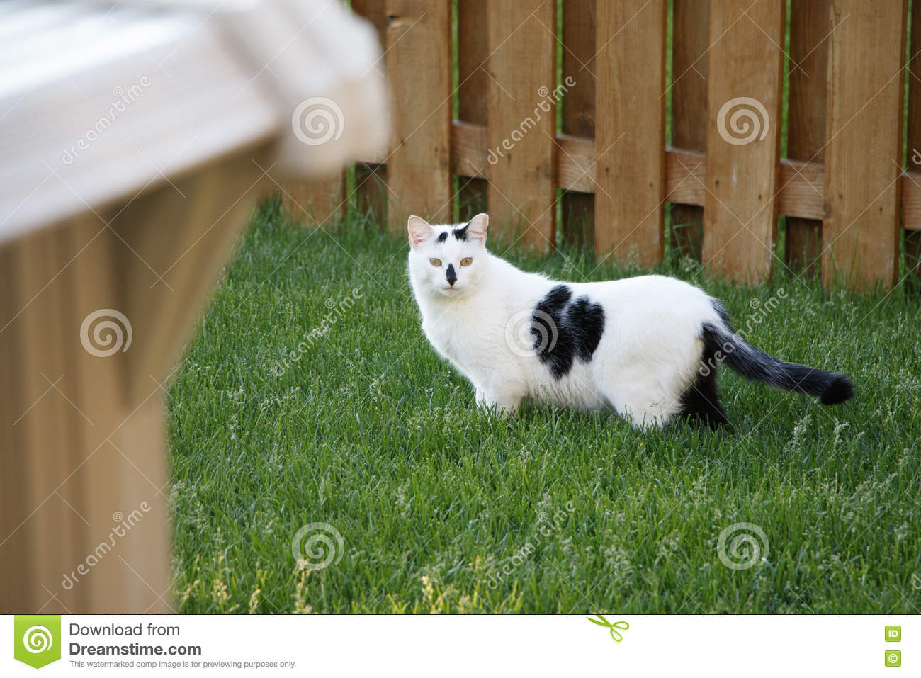 Cat In Backyard black and white stray feral cat in backyard stock image - image of