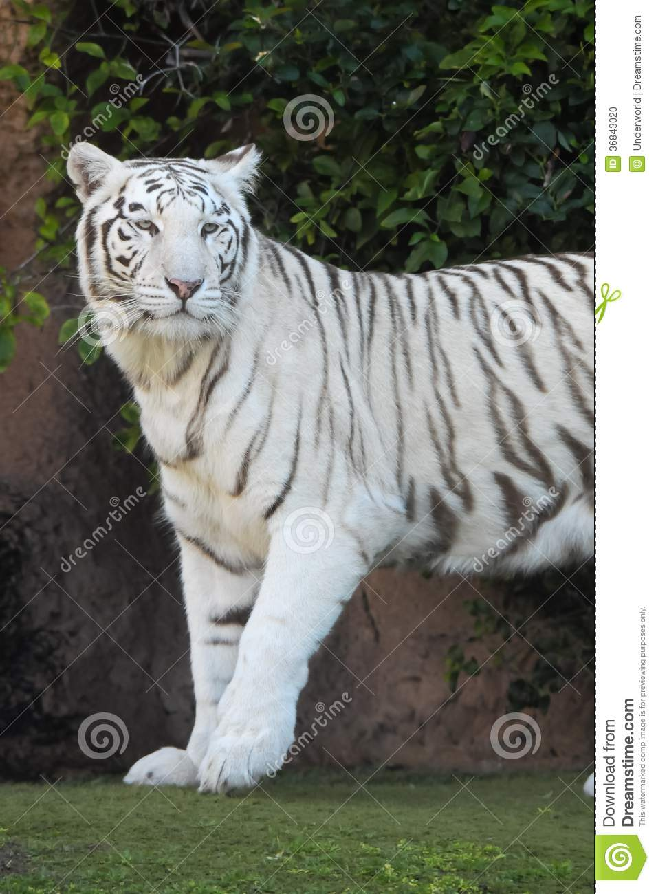 tiger striped white Pictures a of