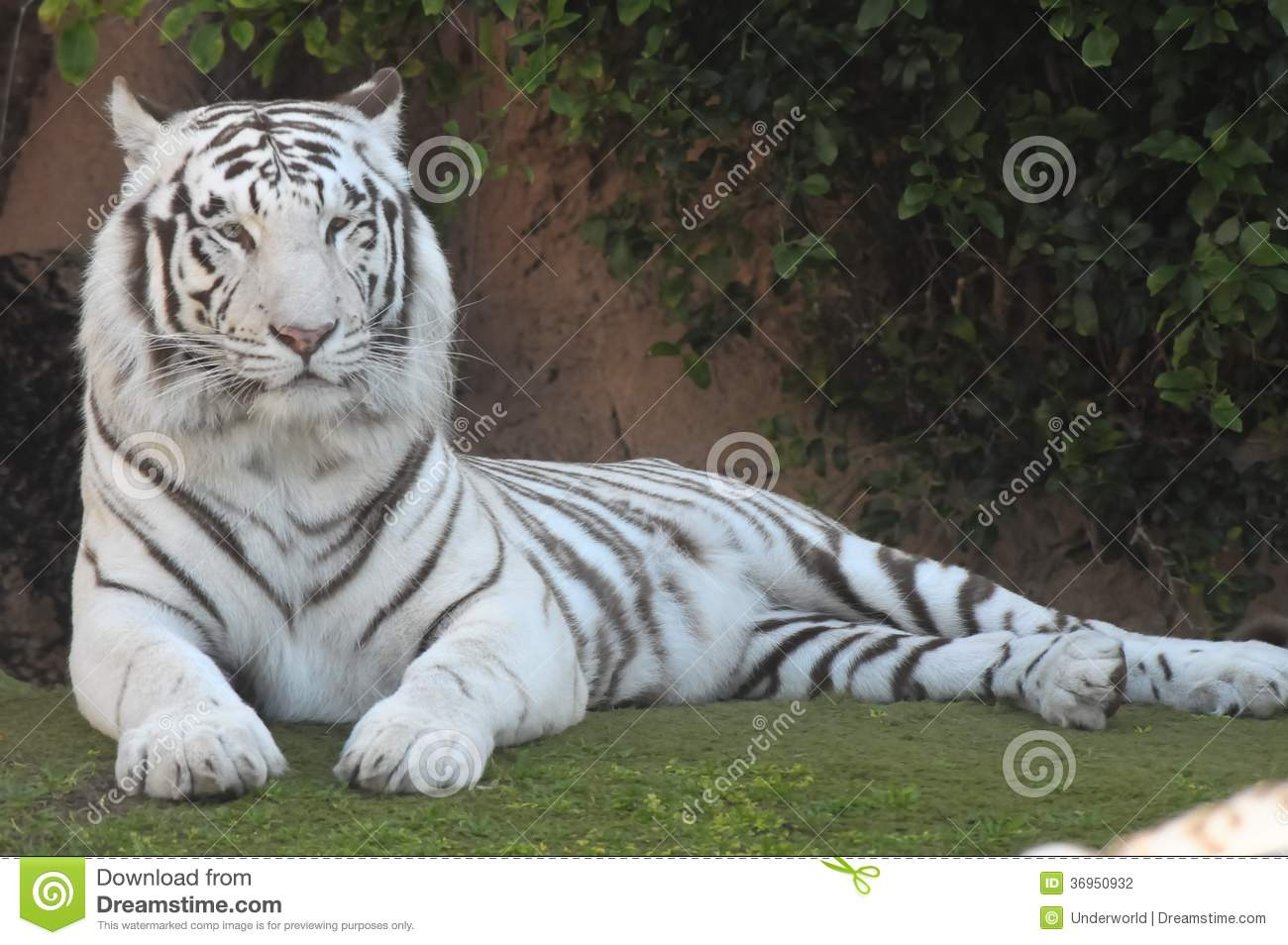 Black and white striped tiger stock photography image - Tiger stripes black and white ...