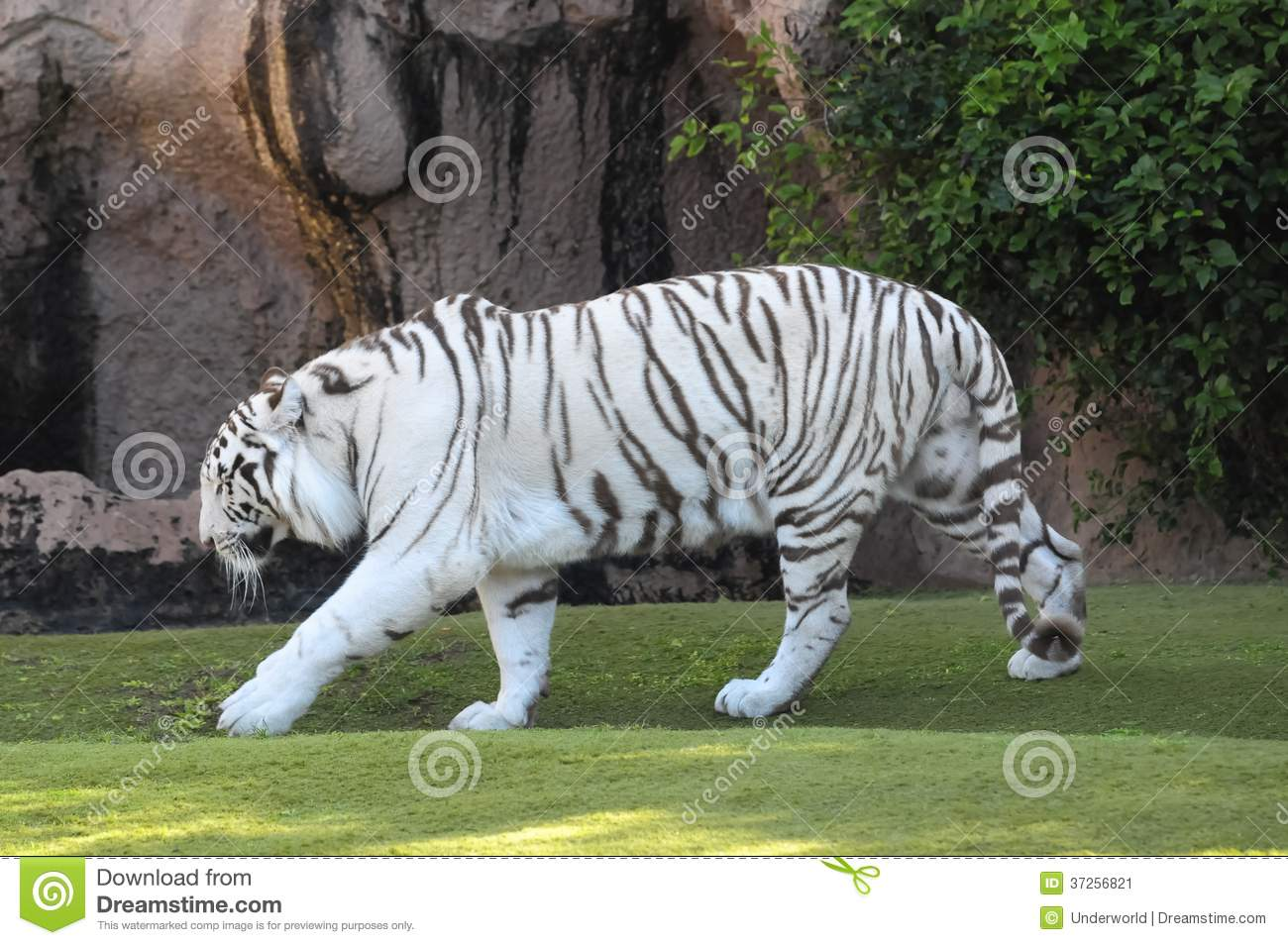 white tiger of a pictures striped