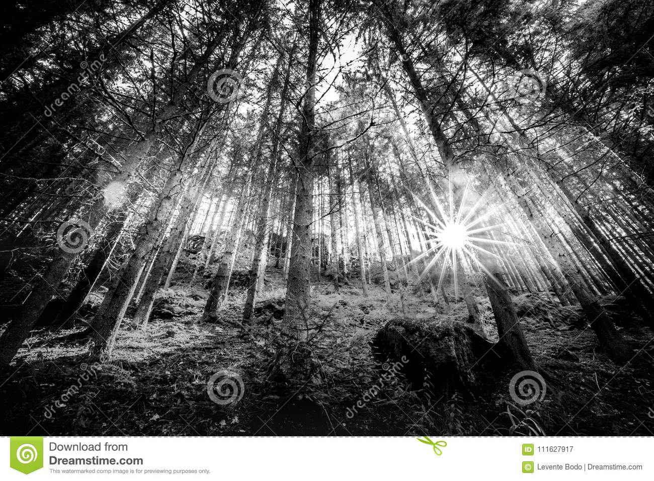 Black and white summer forest and sun rays