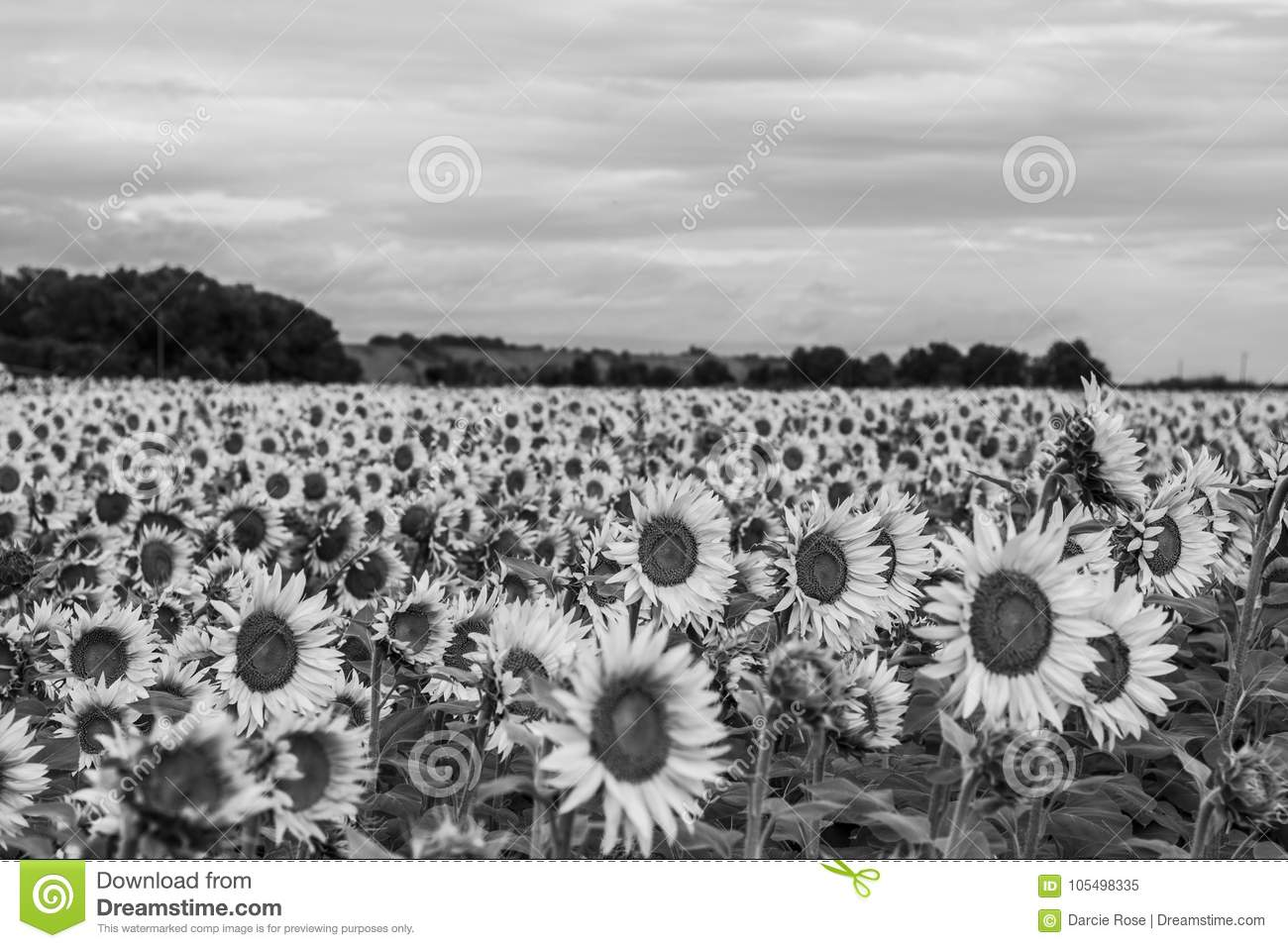 Black And White Sunflower Field Stock Image Image Of Sunflower