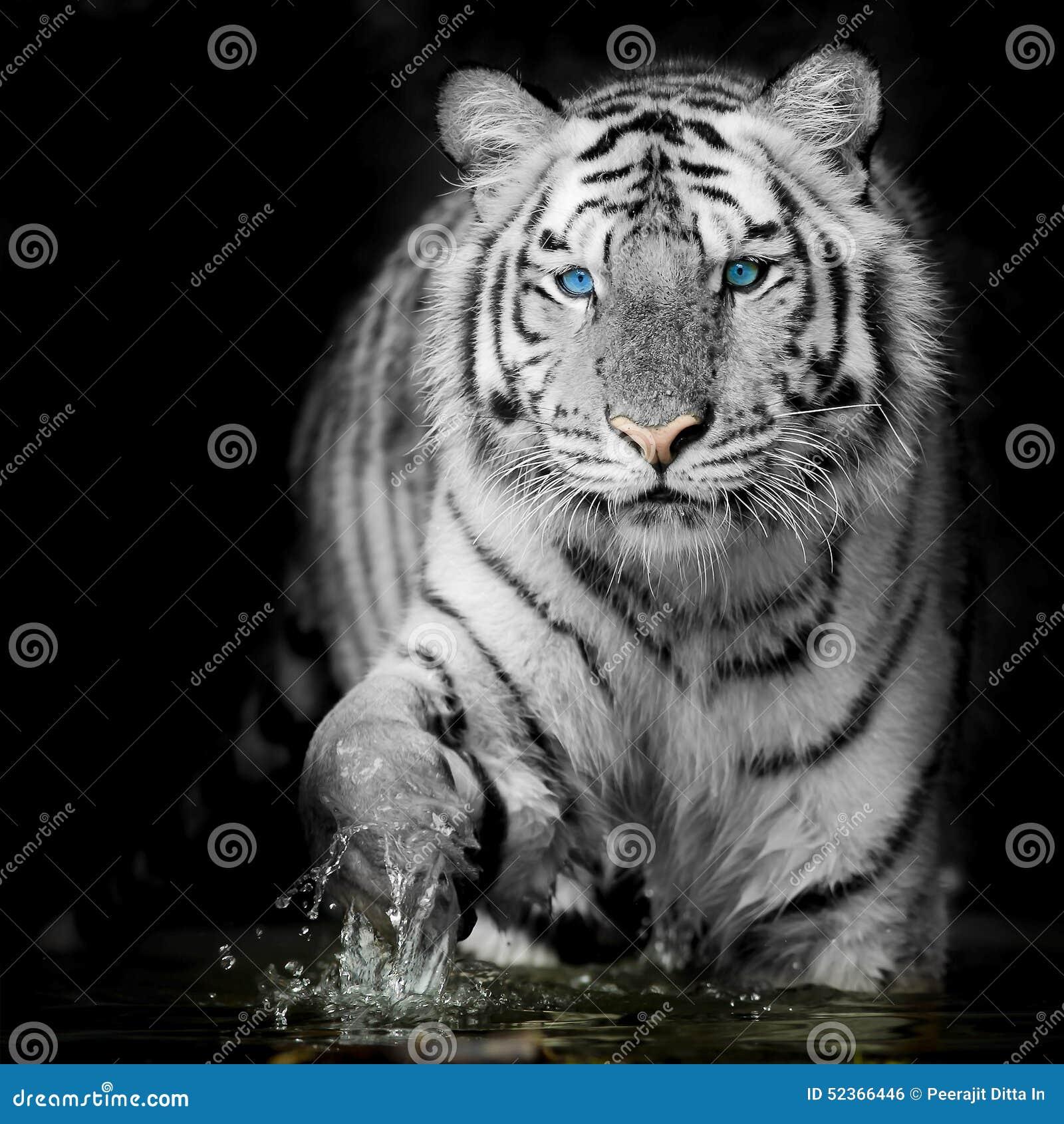 designer fashion 70c8c 85bc4 Black & White Tiger editorial photo. Image of animal - 52366446