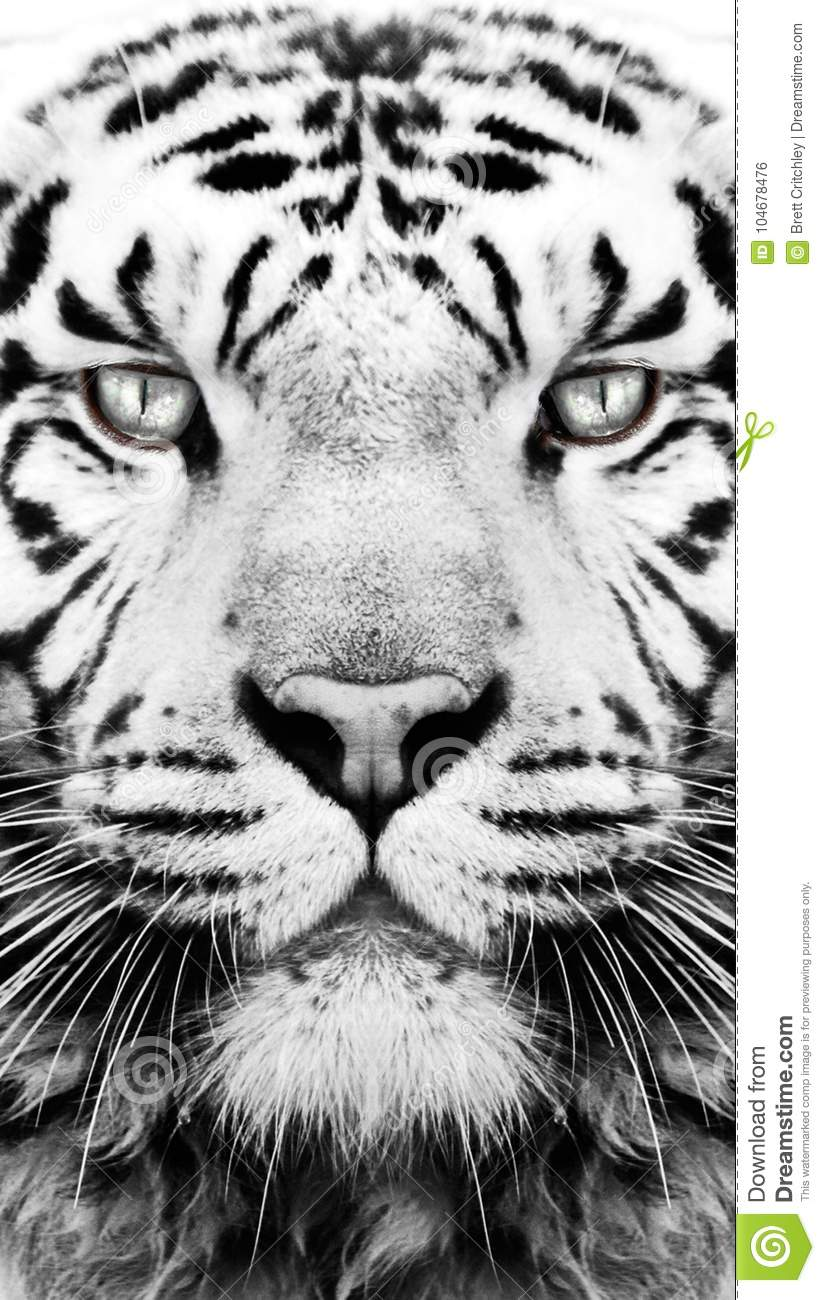 132 080 Tiger Photos Free Royalty Free Stock Photos From Dreamstime