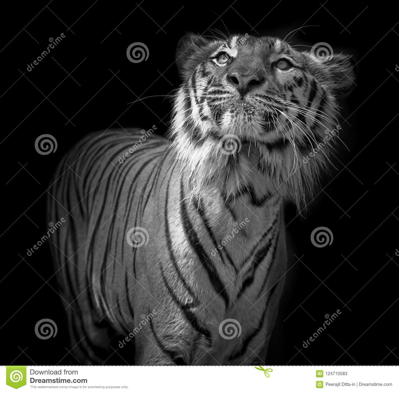 7f2d40306 Black And White Tiger Portrait In Front Of Black Background Stock ...
