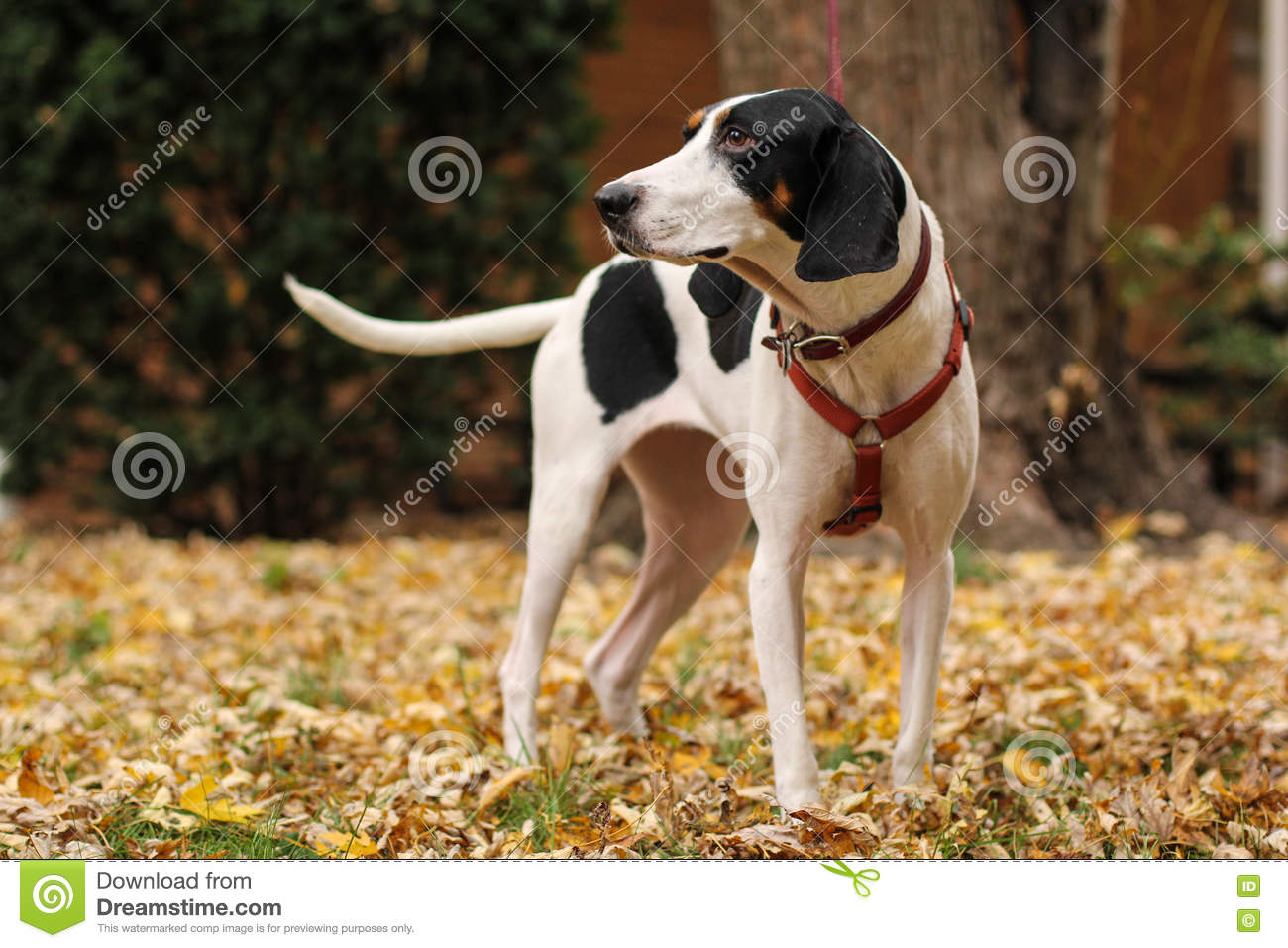 Black and white treeing walker coonhound god