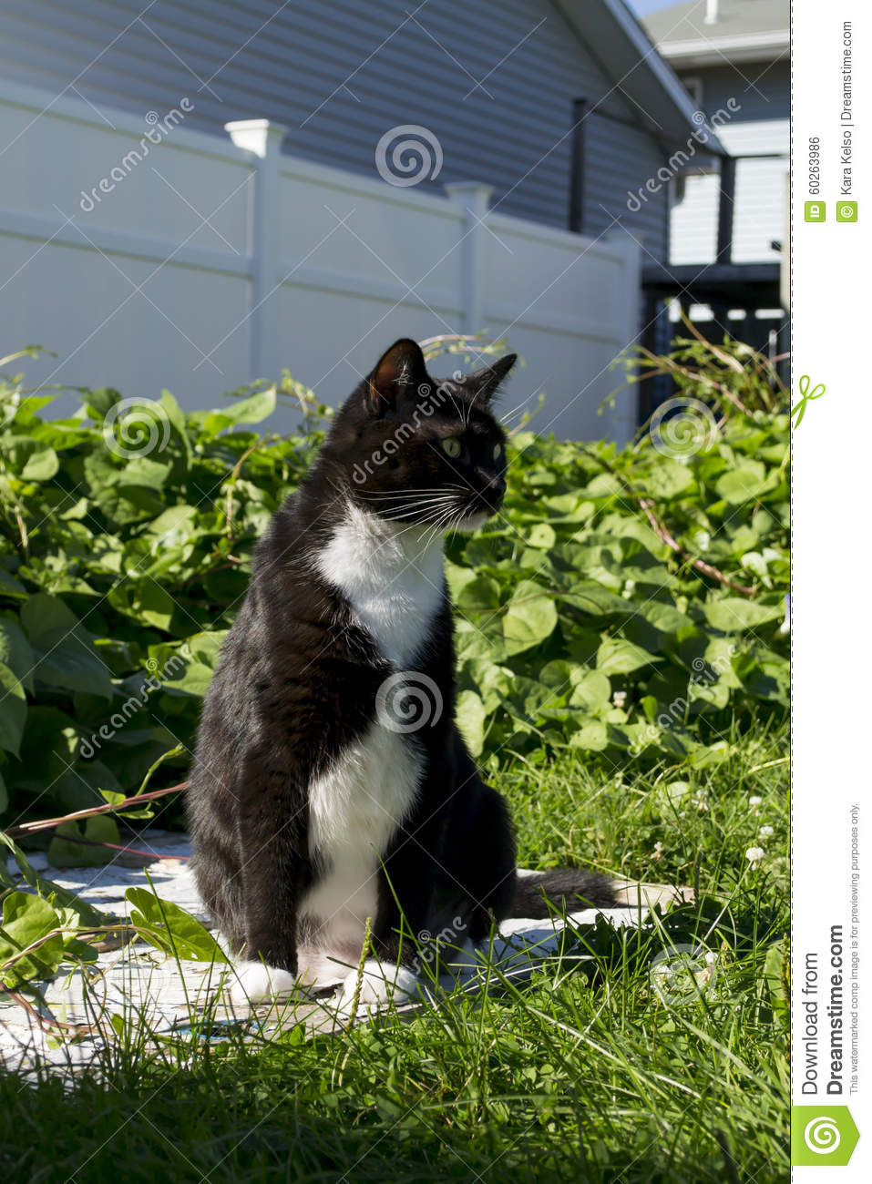 Black And White Tuxedo Cat Outside Stock Photo - Image ...