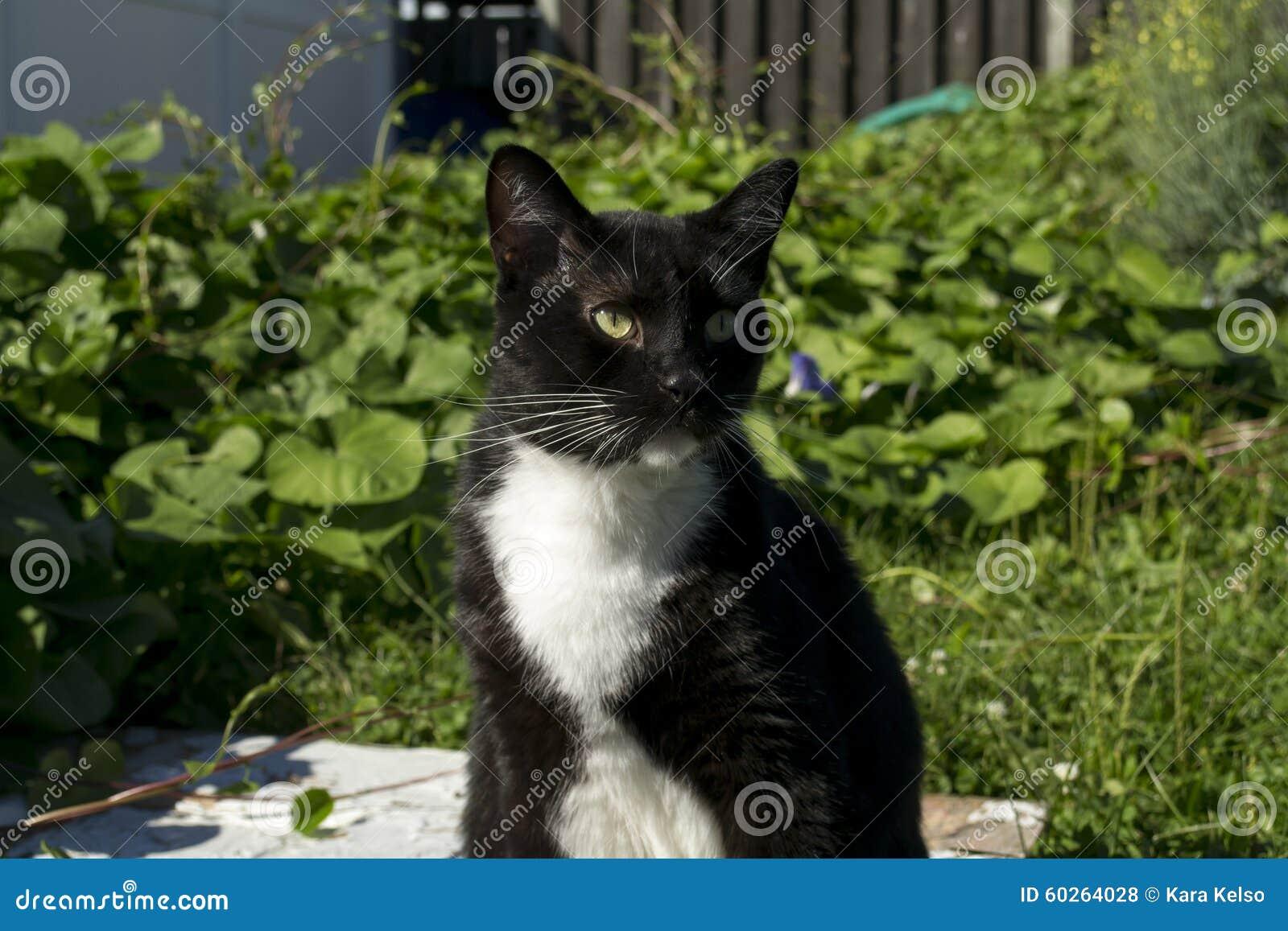 Black And White Tuxedo Cat Outside Stock Photo - Image ...
