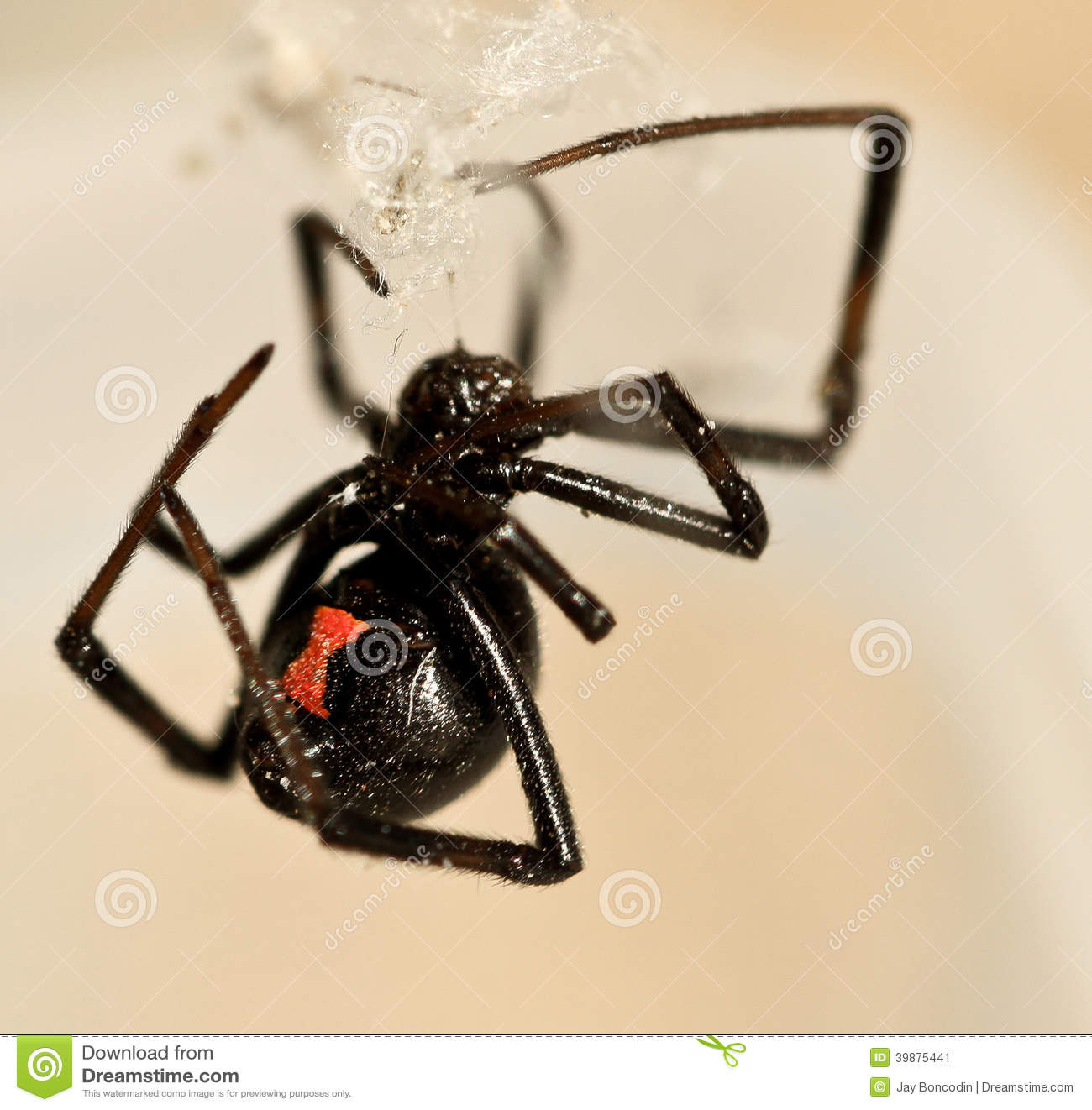 how to catch black widow spiders