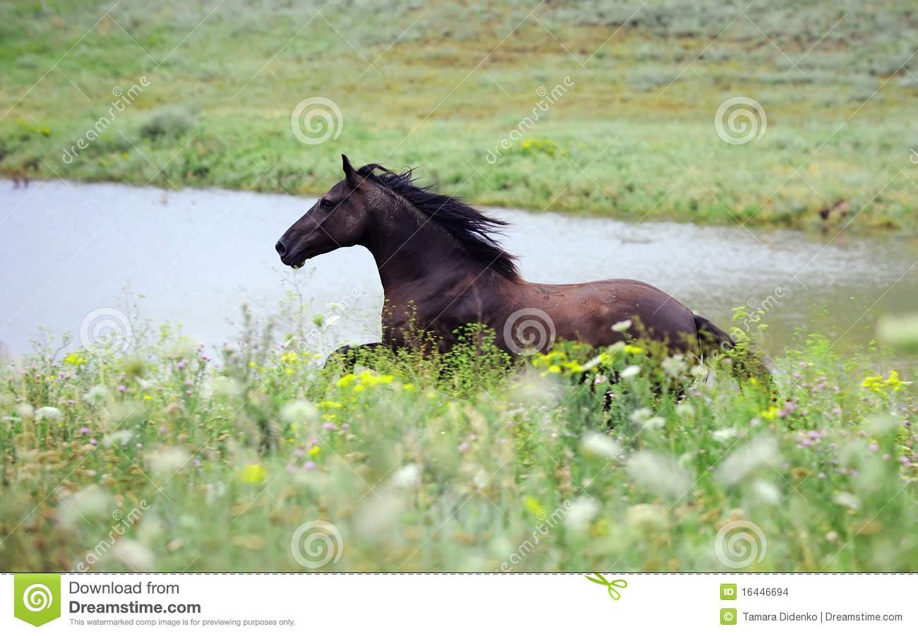 Black Wild Horse Running Gallop On The Field Stock Photo Image Of Mammal Landscape 16446694