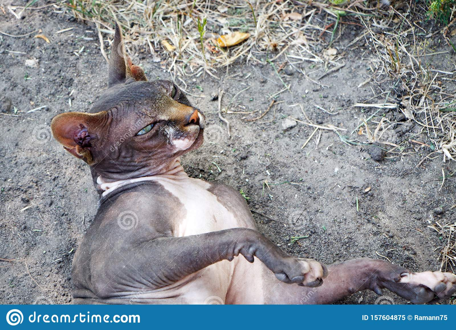Black wild sphynx cat lies on the ground on a farm in the forest, selective focus