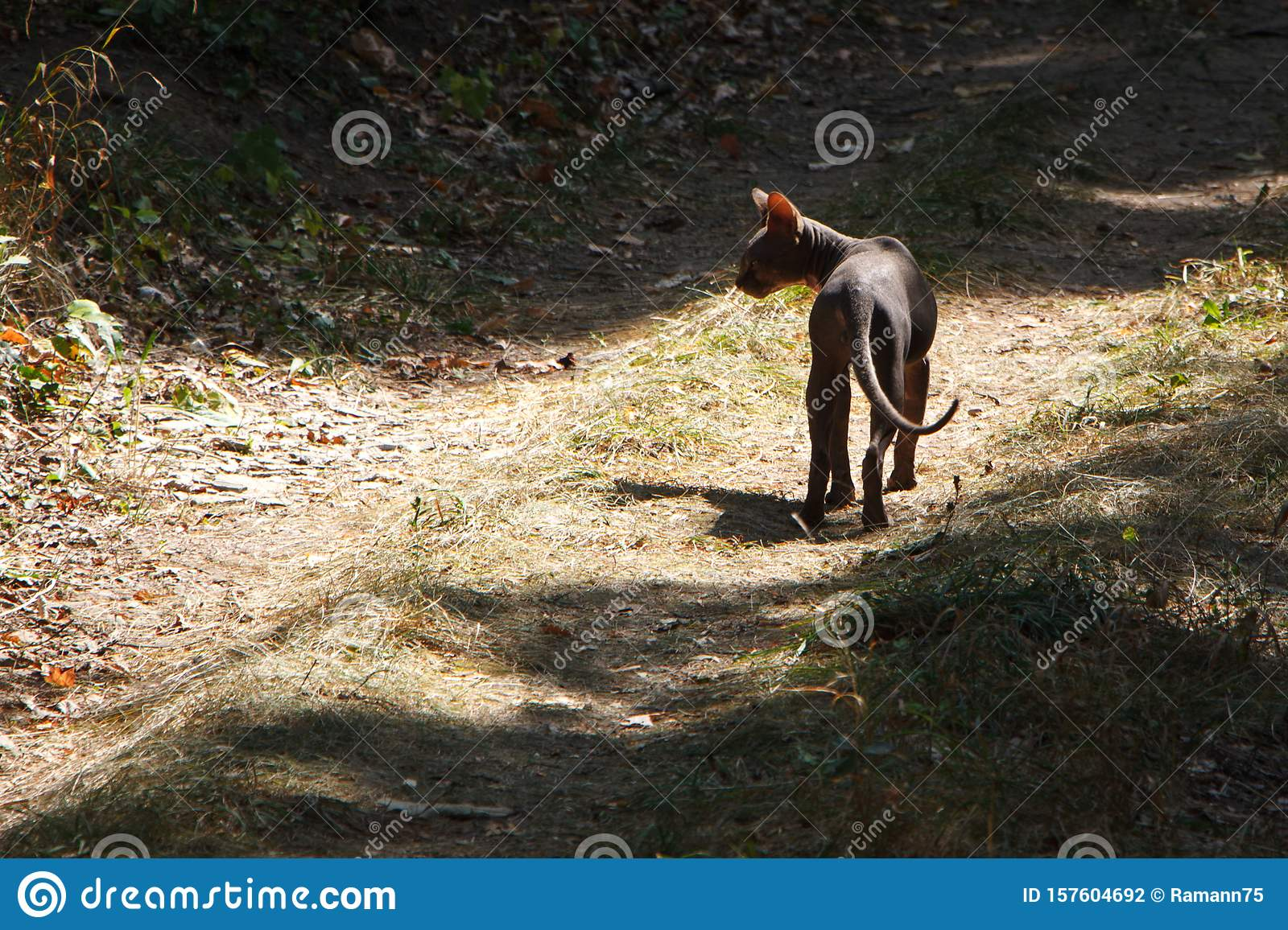 Black wild sphynx cat walks on a farm road in the forest, selective focus