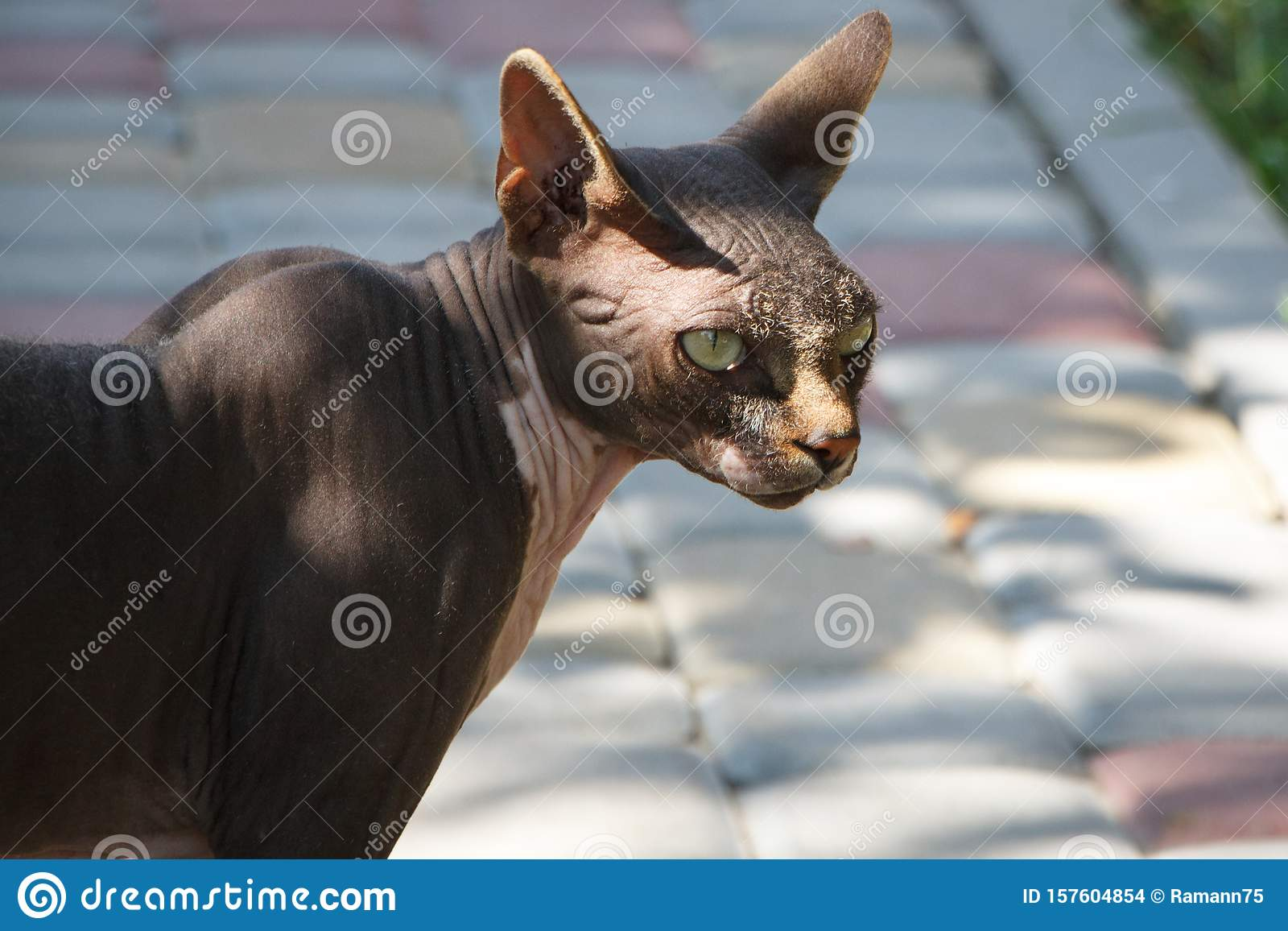 Black wild sphynx cat walks on a walkway in the forest, selective focus