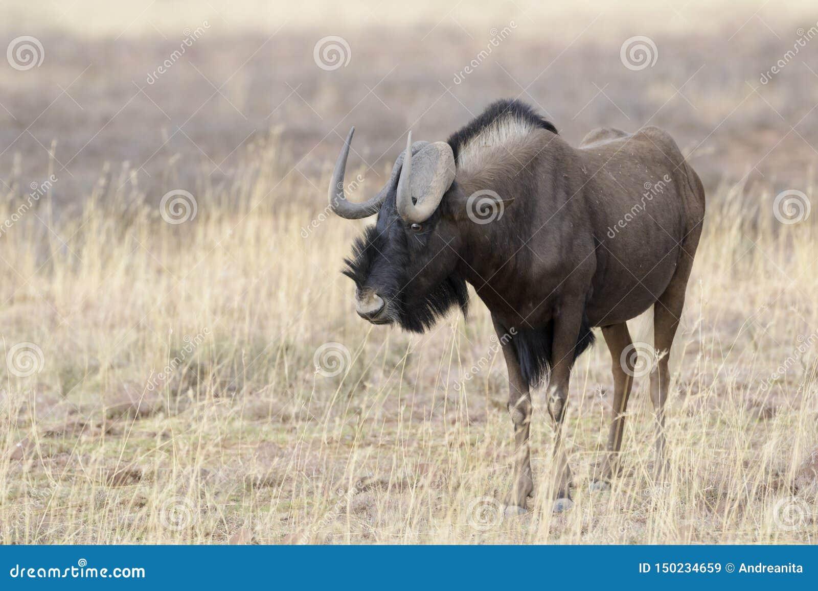 Black Wildebeest standing  in grassland
