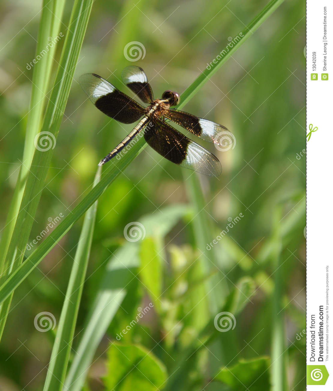Black winged dragonfly - photo#25