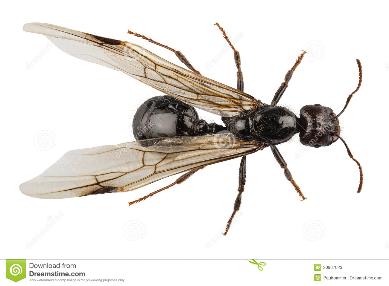 Black Winged Garden Ant Species Niger Lasius Stock Photos - Image ...