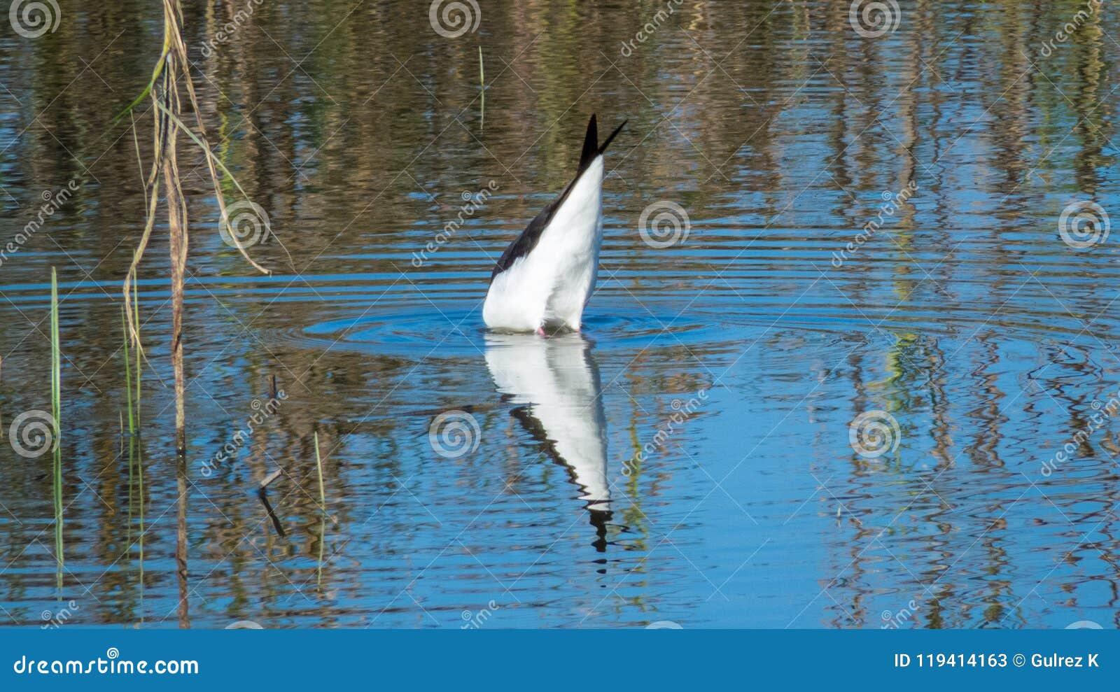 Black-winged stilt bird dving in a lake near Indore ,India
