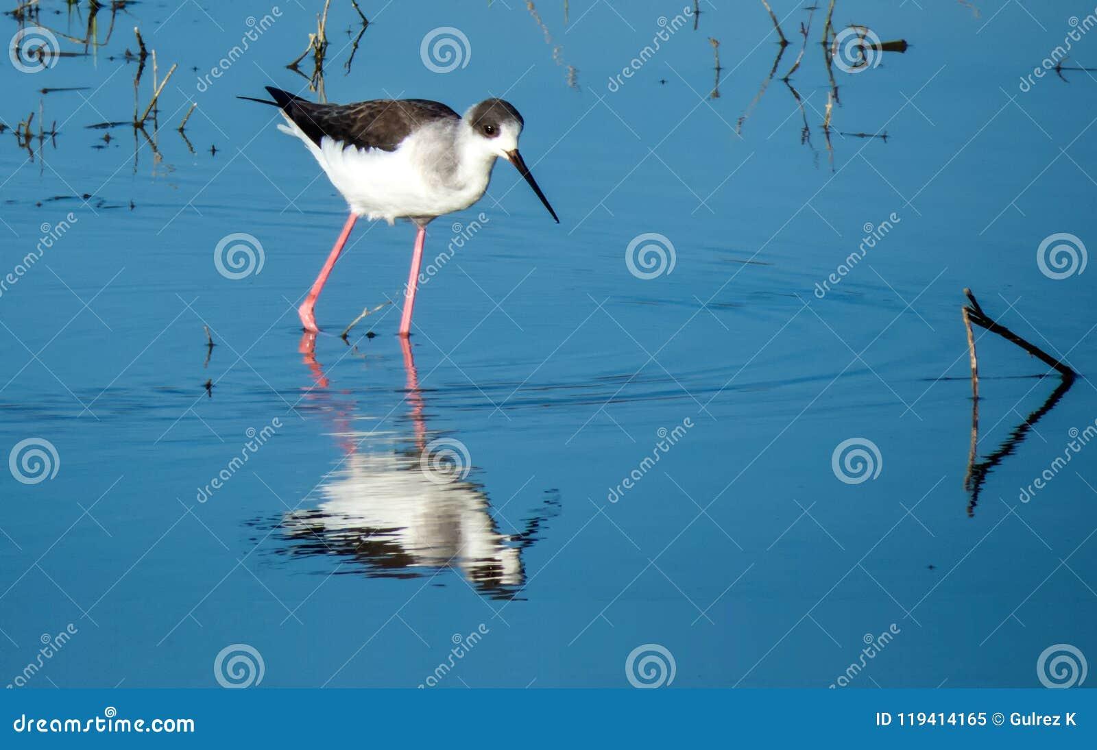 Black-winged stilt bird in a lake near Indore ,India