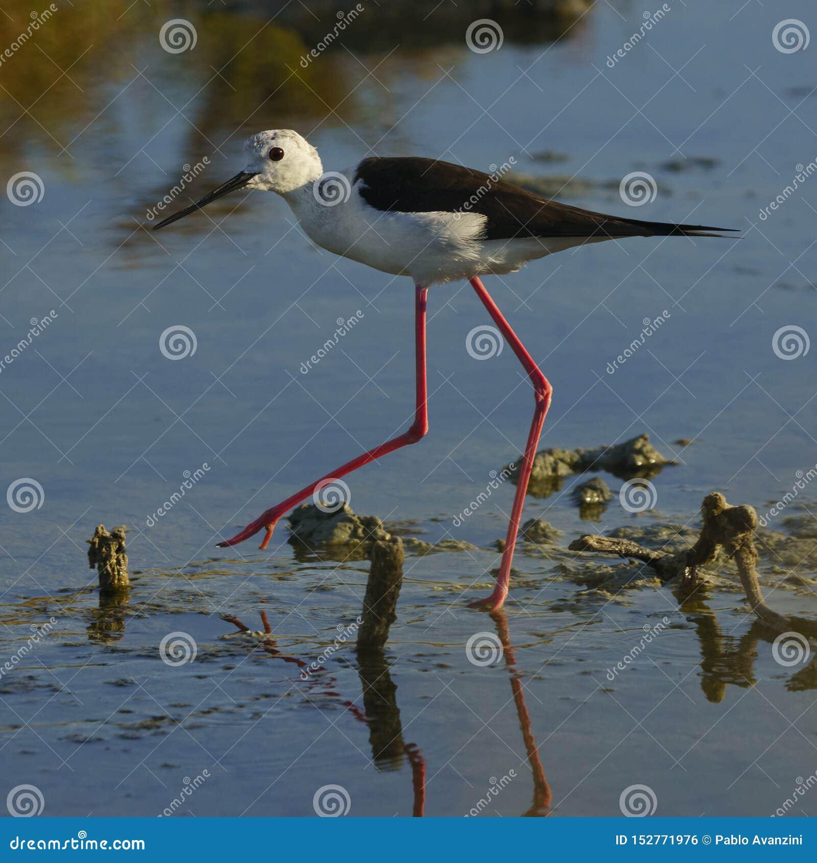 Black-Winged Stilt Walking