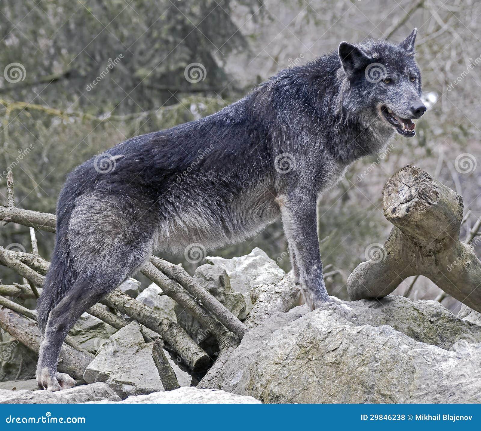 Black Wolf 1 Stock Photo. Image Of Fang, Fauna, Nice
