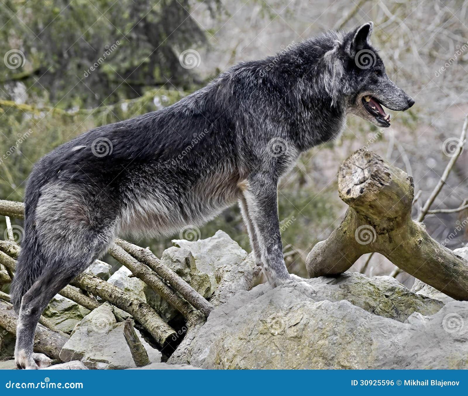 Black Wolf 2 Stock Photo. Image Of Tear, Nice, Tail