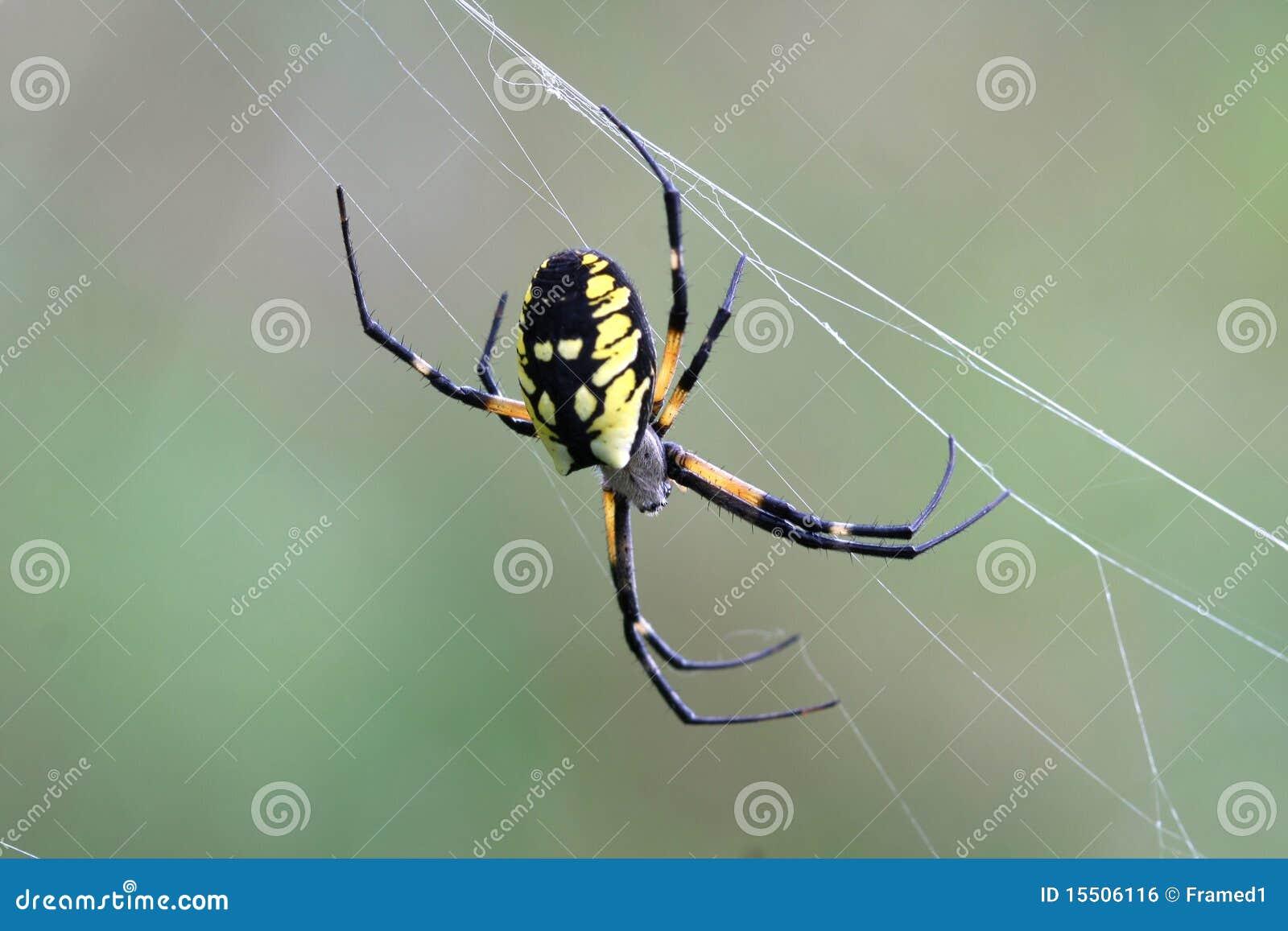 Black Yellow Garden Spider Royalty Free Stock Image