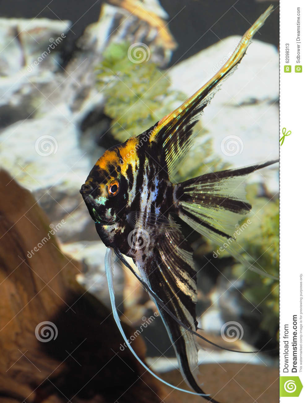 Black and yellow freshwater aquarium fish - Black And Yellow Veiled Angel Fish