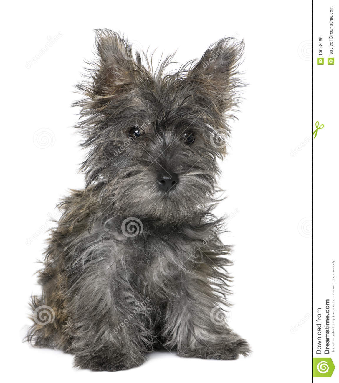 Black Yorkshire Terrier Puppy Sitting Royalty Free Stock ...