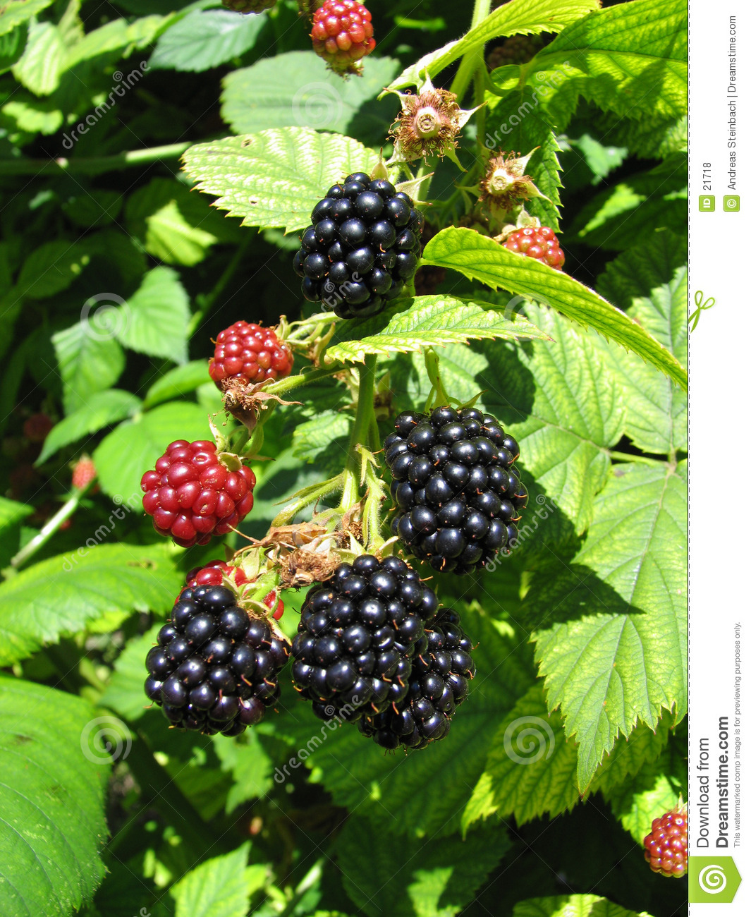 Blackberries 2/2